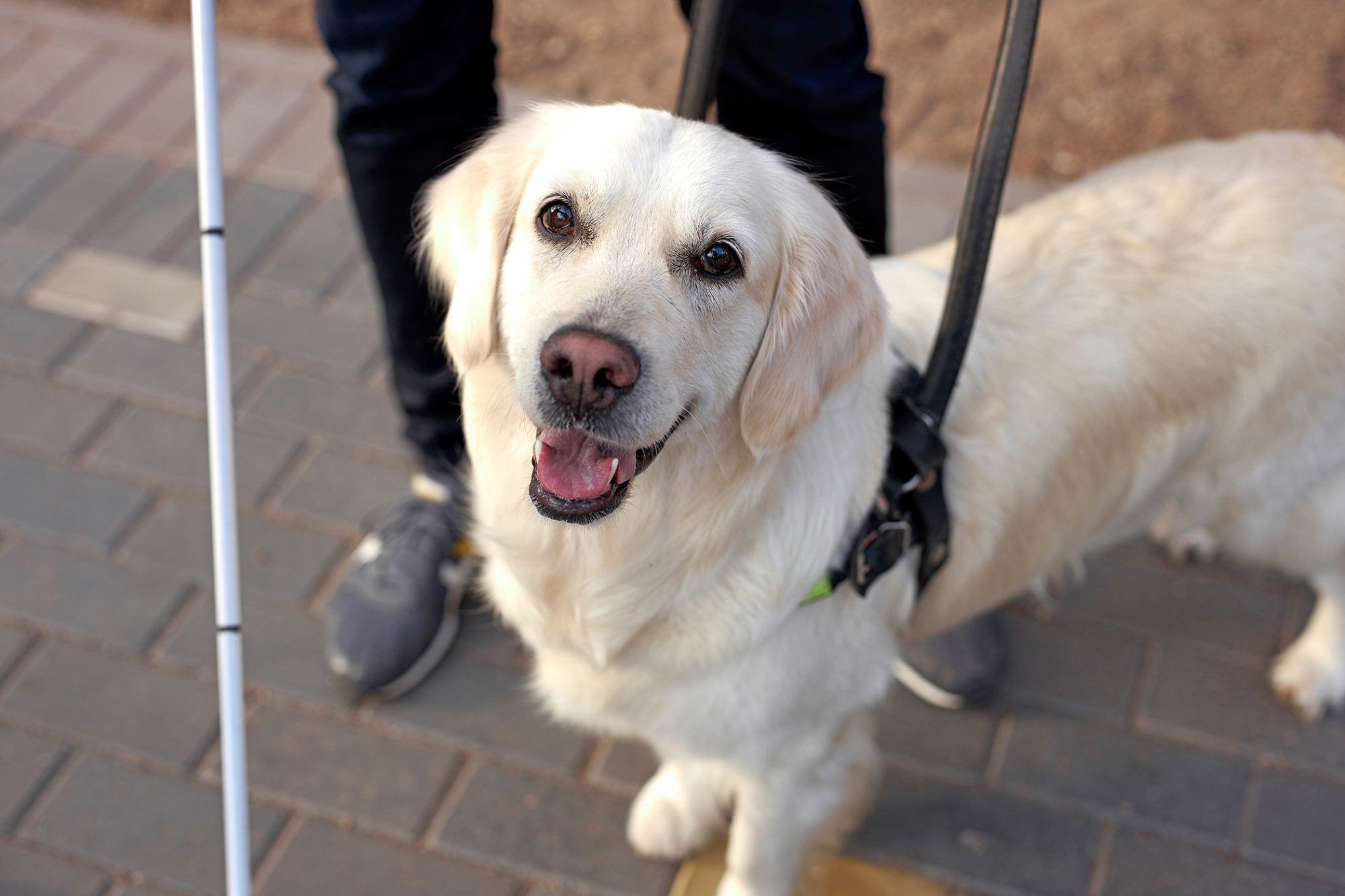 Golden retriever guide dog looking up