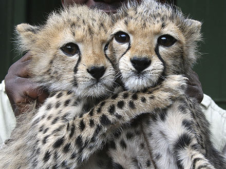 cheetah-cubs-440.jpg