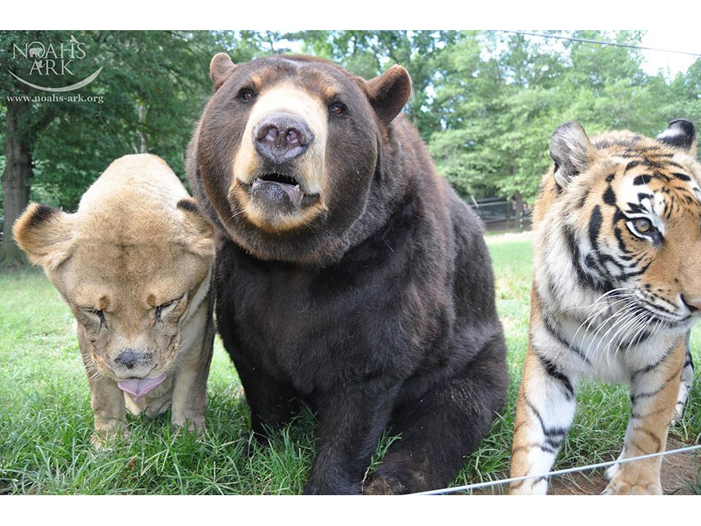 LEO, BALOO AND SHERE KHAN