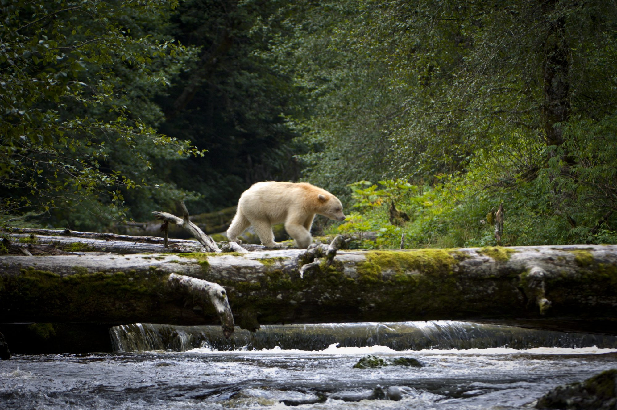 BRITISH COLUMBIA, CANADA - UNDATED: *** EXCLUSIVE *** Adult Spirit Bear or Kermode Bear (Ursus americanus kermodei) crossing fallen log over a stream on Gribbell Island, Great Bear Rainforest in British Columbia, Canada. It is startling enough to come face to face with a bear in the wild, but to then discover that it is an incredibly unusual white ?Spirit Bear? makes it an exceedingly special encounter. Lucky wildlife photographer and writer Nick Garbutt got within five metres with this spirit bear in British Columbia in Canada. After some sniffing, posturing and a little thought the bear decided that Nick was nothing to be concerned about and went back to fishing for salmon, allowing Nick to get these superb shots. The Spirit Bear, a distinct and rare genetic variant of the more common and widely distributed Black Bear, is an extraordinary sight, appearing to glow ?ghost-like? in the dark, primordial forests it inhabits. In the Great Bear Rainforest of British Colombia, there is only one ?Spirit Bear? for every 10 regular Black Bears, so Nick believes he encountered one of only around 300 in the world. PHOTOGRAPH BY www.nickgarbutt.com / BARCROFT MEDIA LTD UK Office, London. T +44 845 370 2233 W www.barcroftmedia.com USA Office, New York City. T +1 212 564 8159 W www.barcroftusa.com Indian Office, Delhi. T +91 114 653 2118 W www.barcroftindia.com Australasian & Pacific Rim Office, Melbourne. E info@barcroftpacific.com T +613 9510 3188 or +613 9510 0688 W www.barcroftpacific.com (Photo by www.nickgarbutt.com / Barcroft Media / Getty Images)