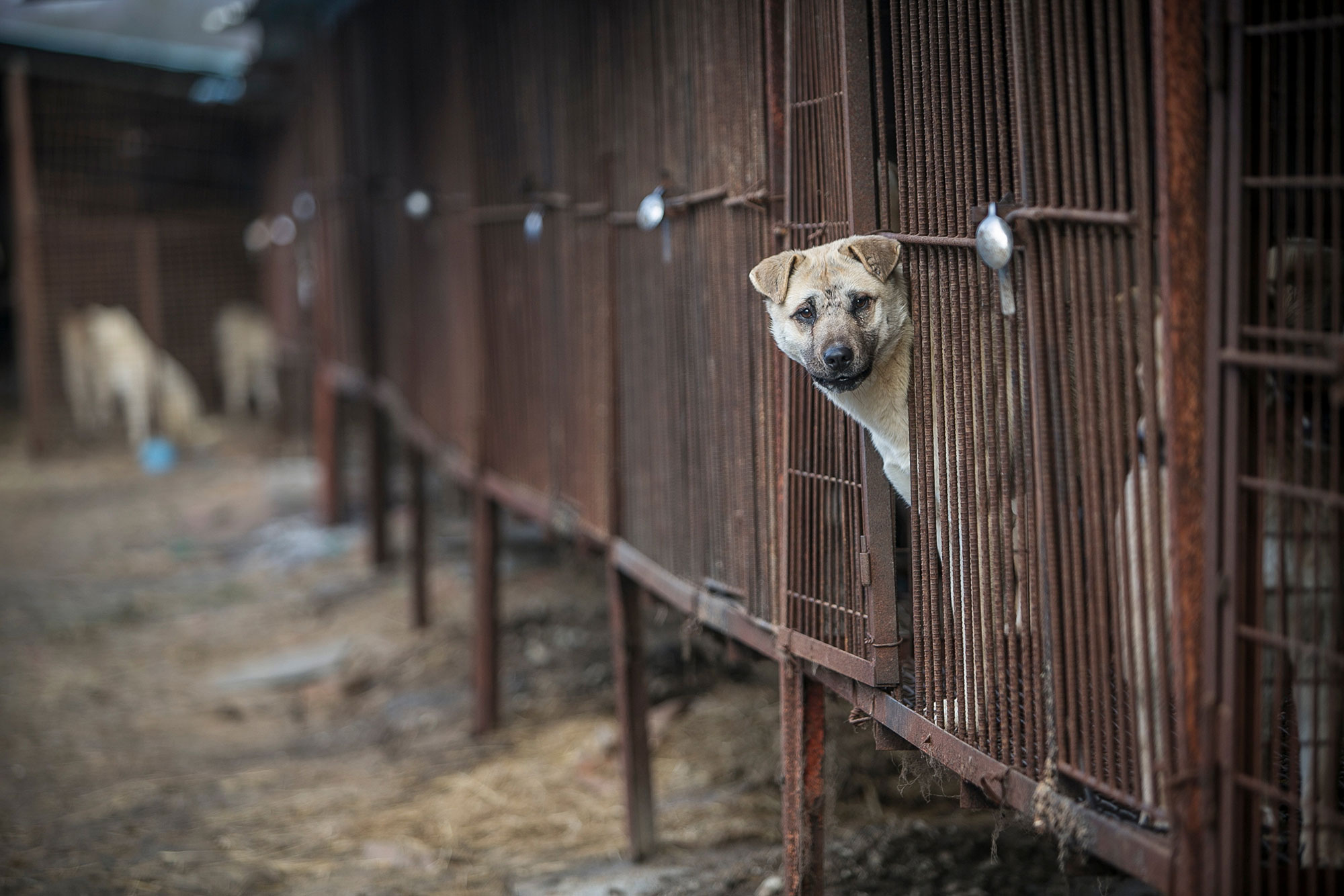 """Dogs are shown locked in a cage at a dog meat farm in Wonju, South Korea on Monday, January 9, 2017. Humane Society International came to an agreement with the farmer to shut down his business and transported all 103 dogs to the United States. The operation is part of HSI's efforts to fight the dog meat trade throughout Asia. In South Korea, the campaign includes working to raise awareness among Koreans about the plight of """"meat dogs,""""—no different from the animals more and more of them are keeping as pets."""