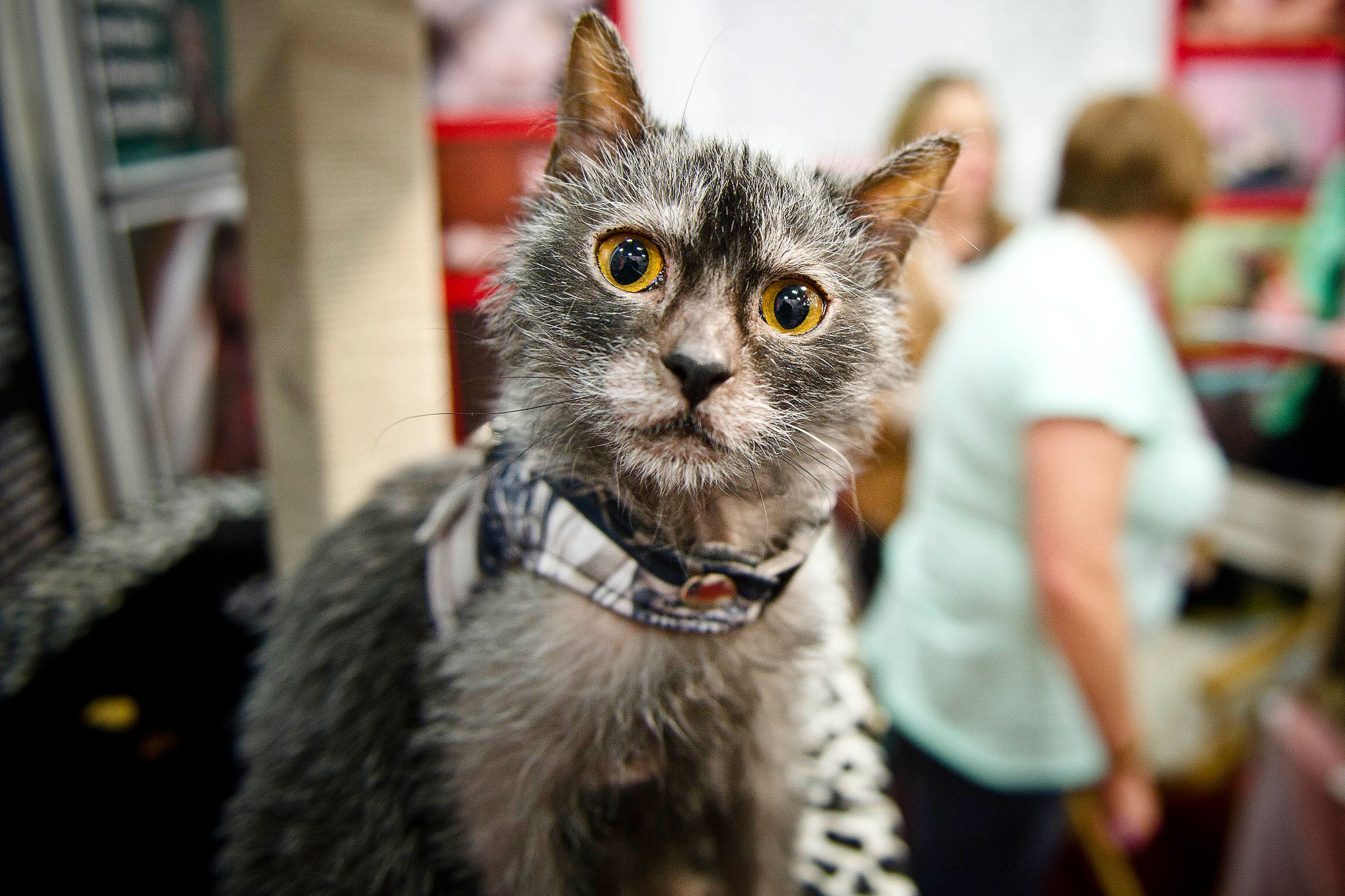 South Africa's Only Lykoi Cat