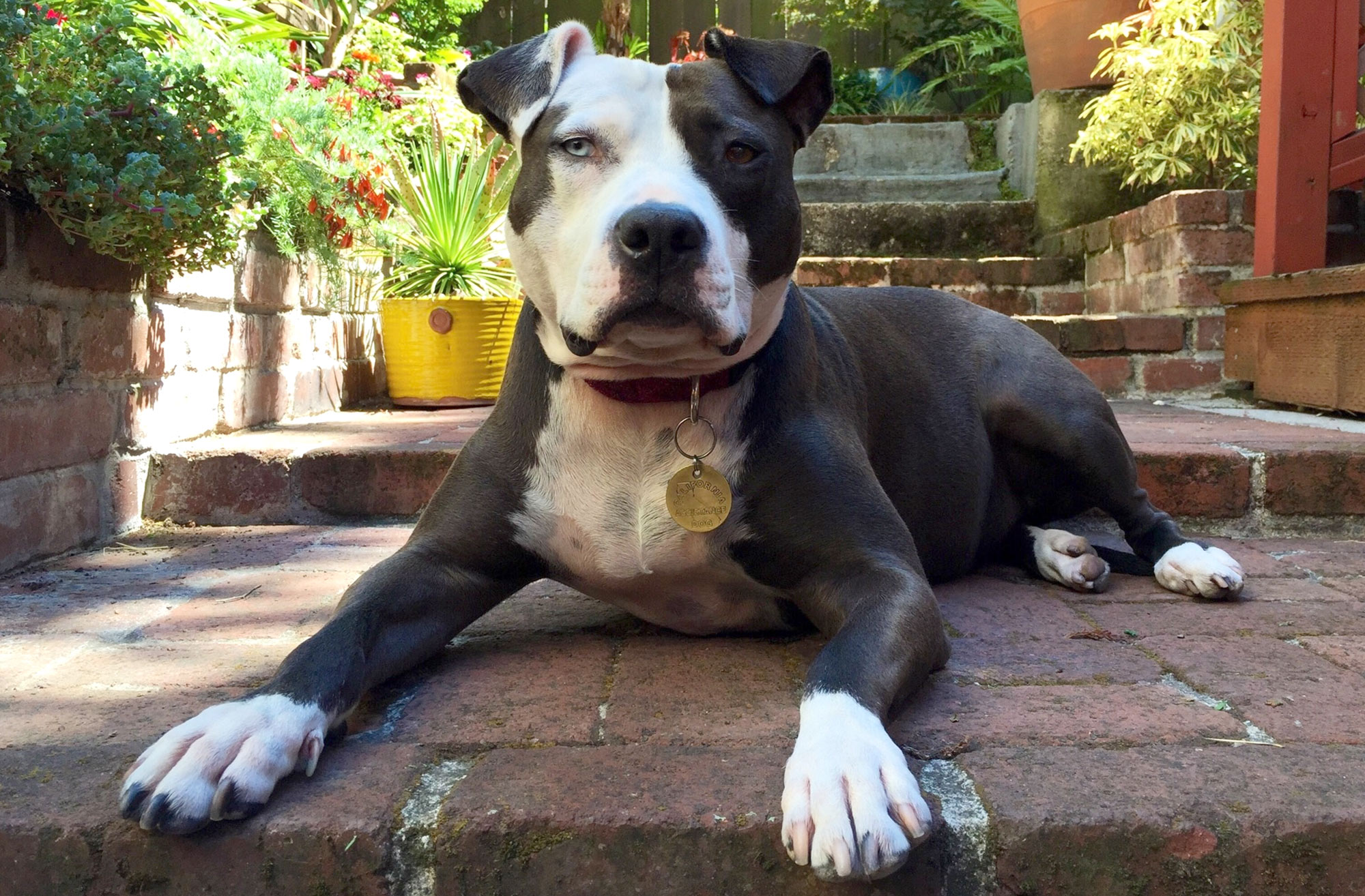 Portrait Of Pit Bull Terrier Relaxing At Yard
