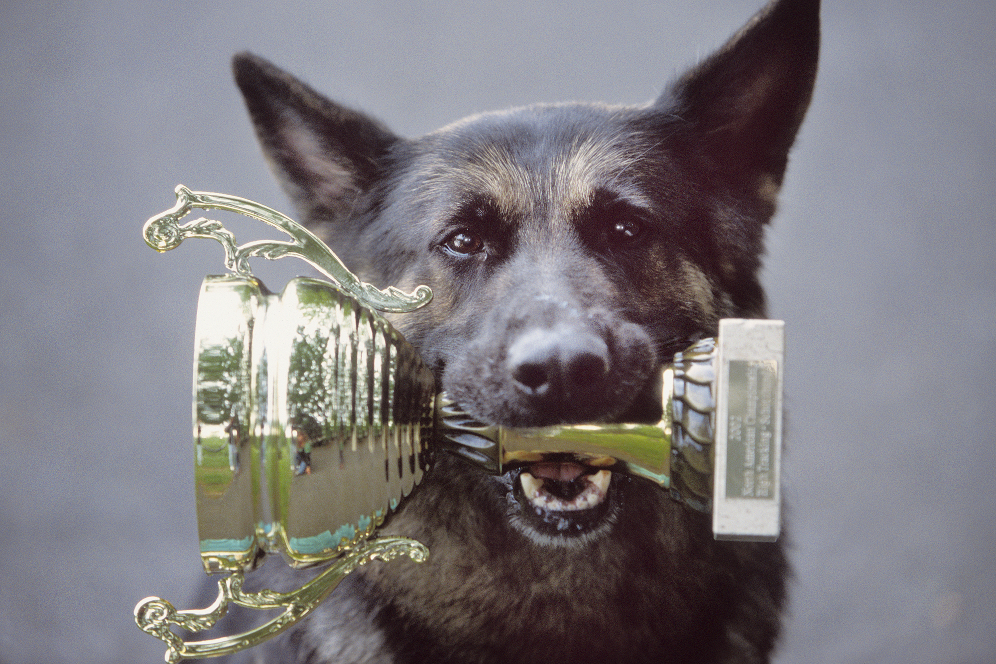 Dog Holding Trophy in Mouth