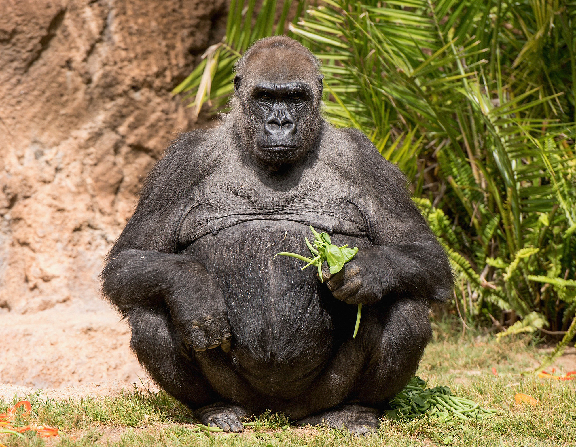 L.A. Zoo Gorillas Treated To Vegetarian Feast By Top L.A. Chefs