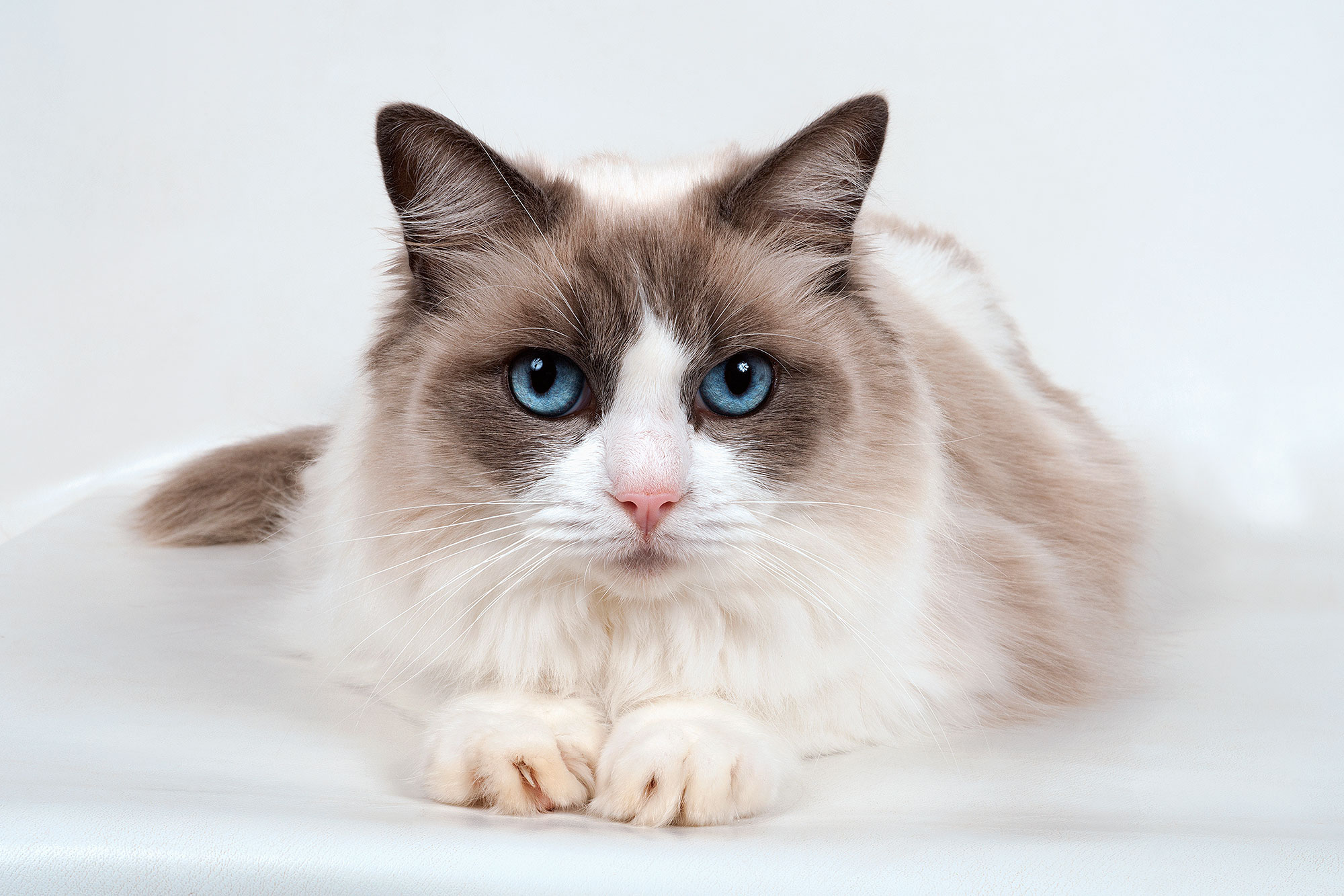Most Expensive Cat Breeds In The World People Com