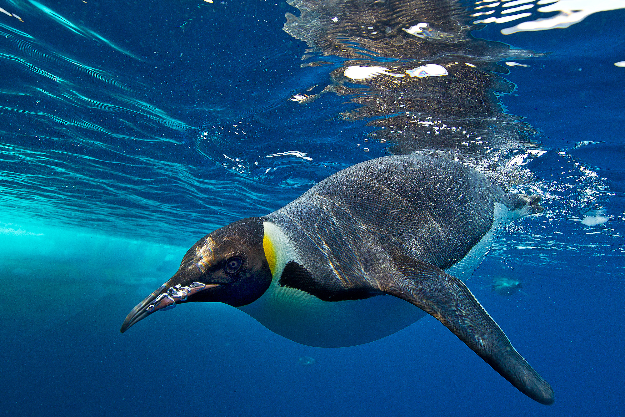 A penguin swims at the surface, which loads its plumage with air.