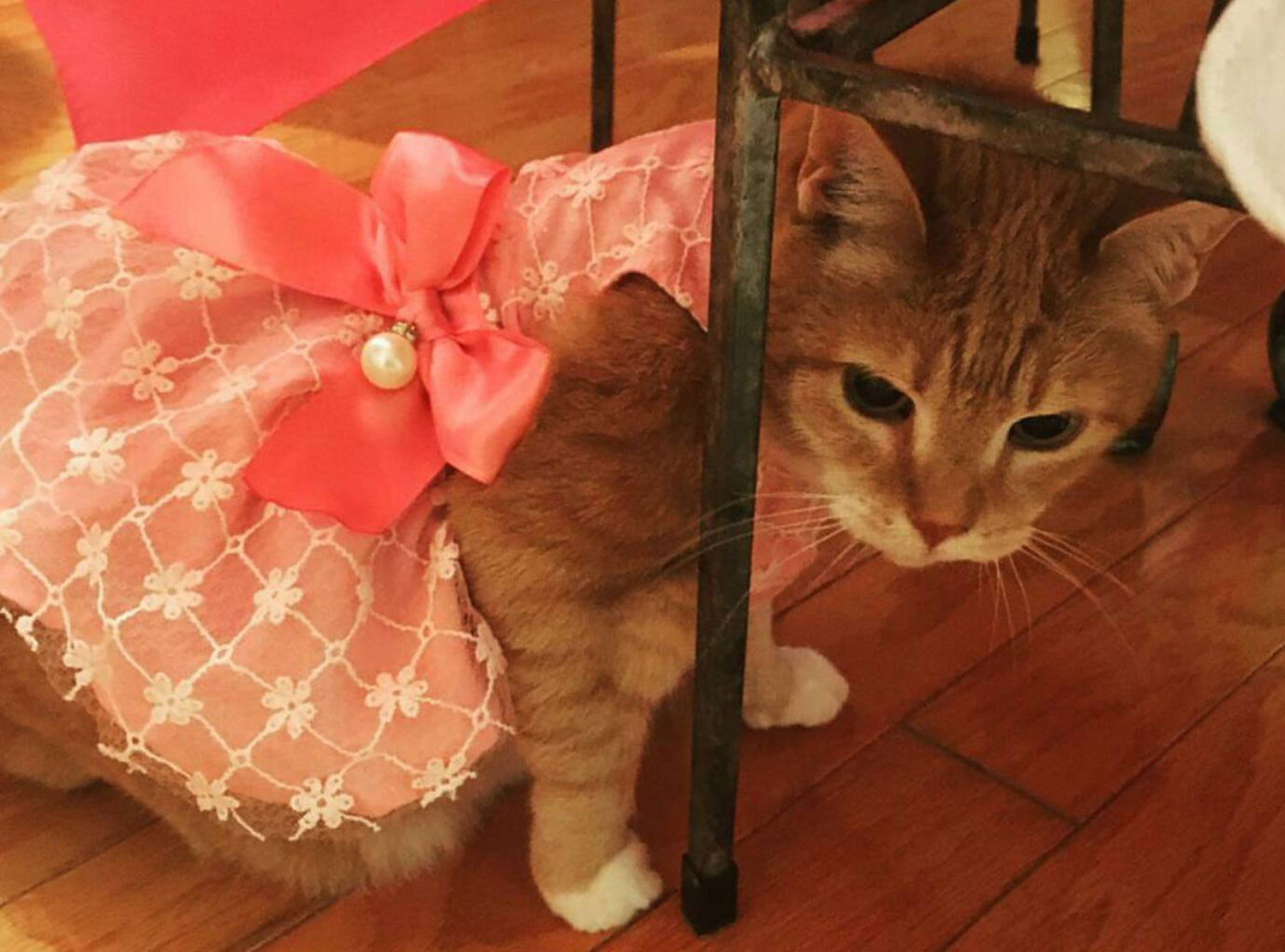 Luna the cat on her Quinceanera (Courtesy Angel Olavarria)