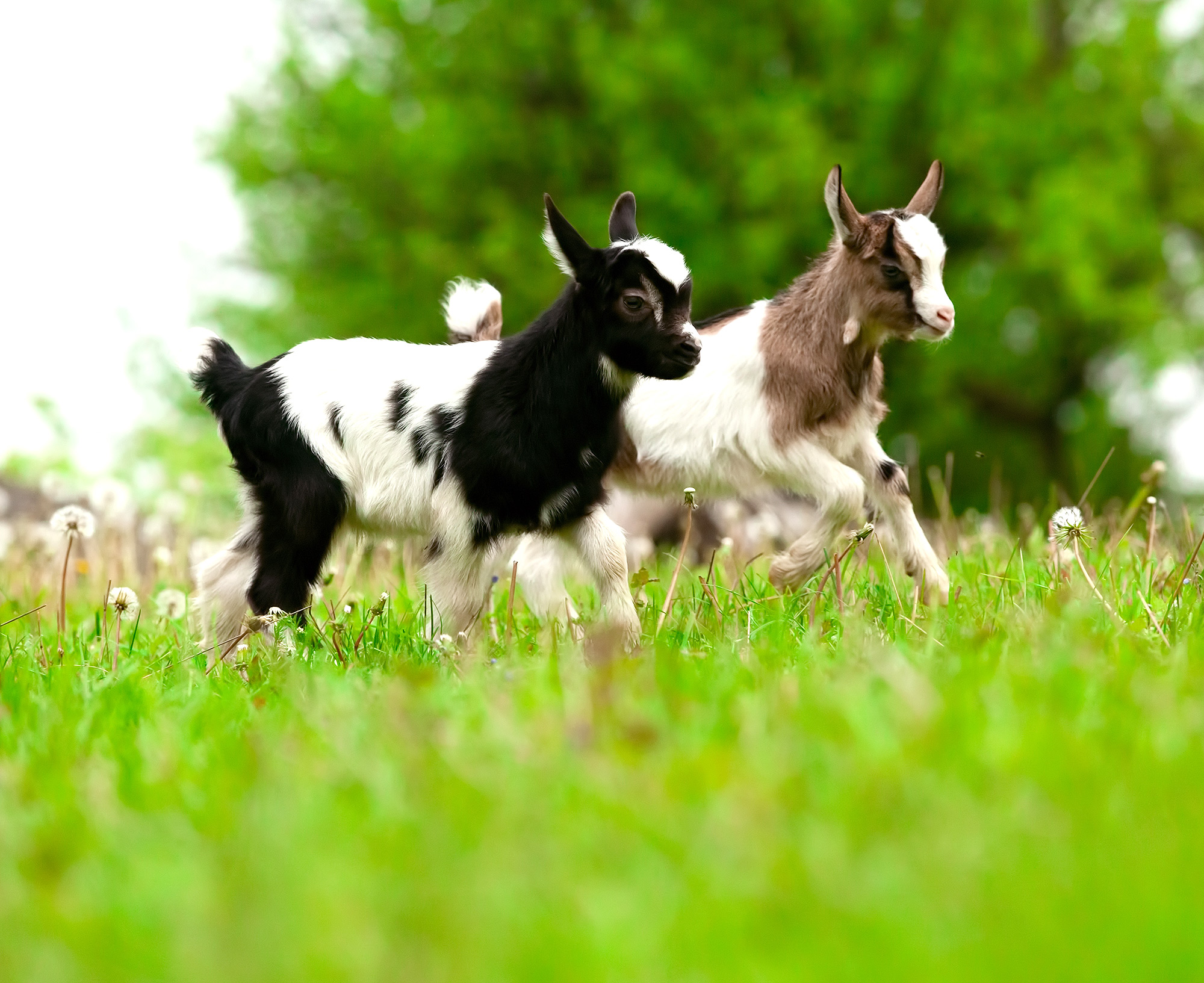 Playful young goats