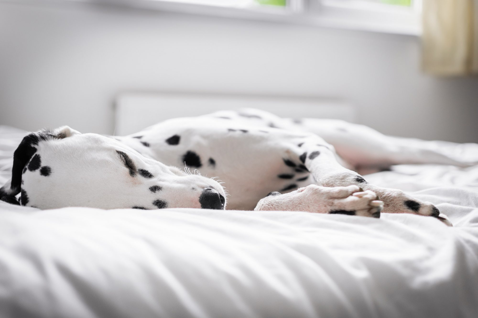 Dalmatian Dog Resting On Bed At Home