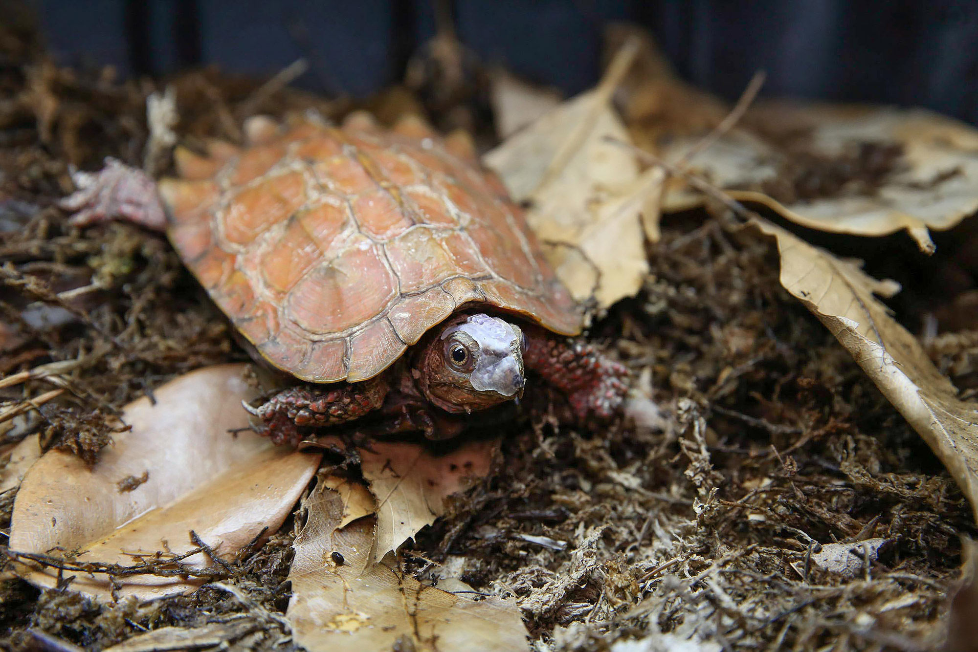 Black-breasted Leaf Turtle, Patches. Credit: Amy Smotherman Burgess