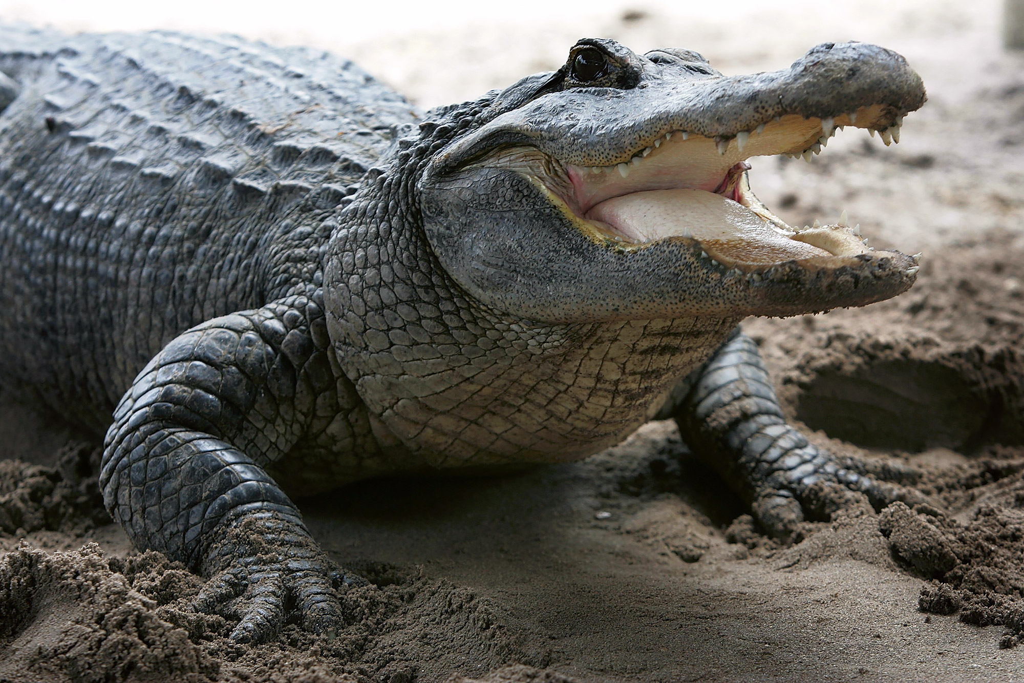Fatal Alligator Attacks Set New Record In Florida