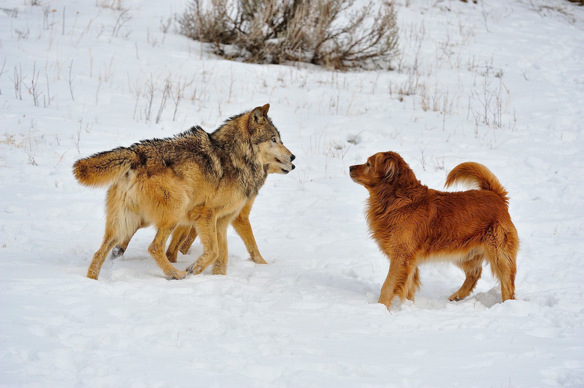 Gray wolf, Canis lupus, interacting with domestic dog Golden retriever, Canis familiaris, Bozeman, Montana, USA
