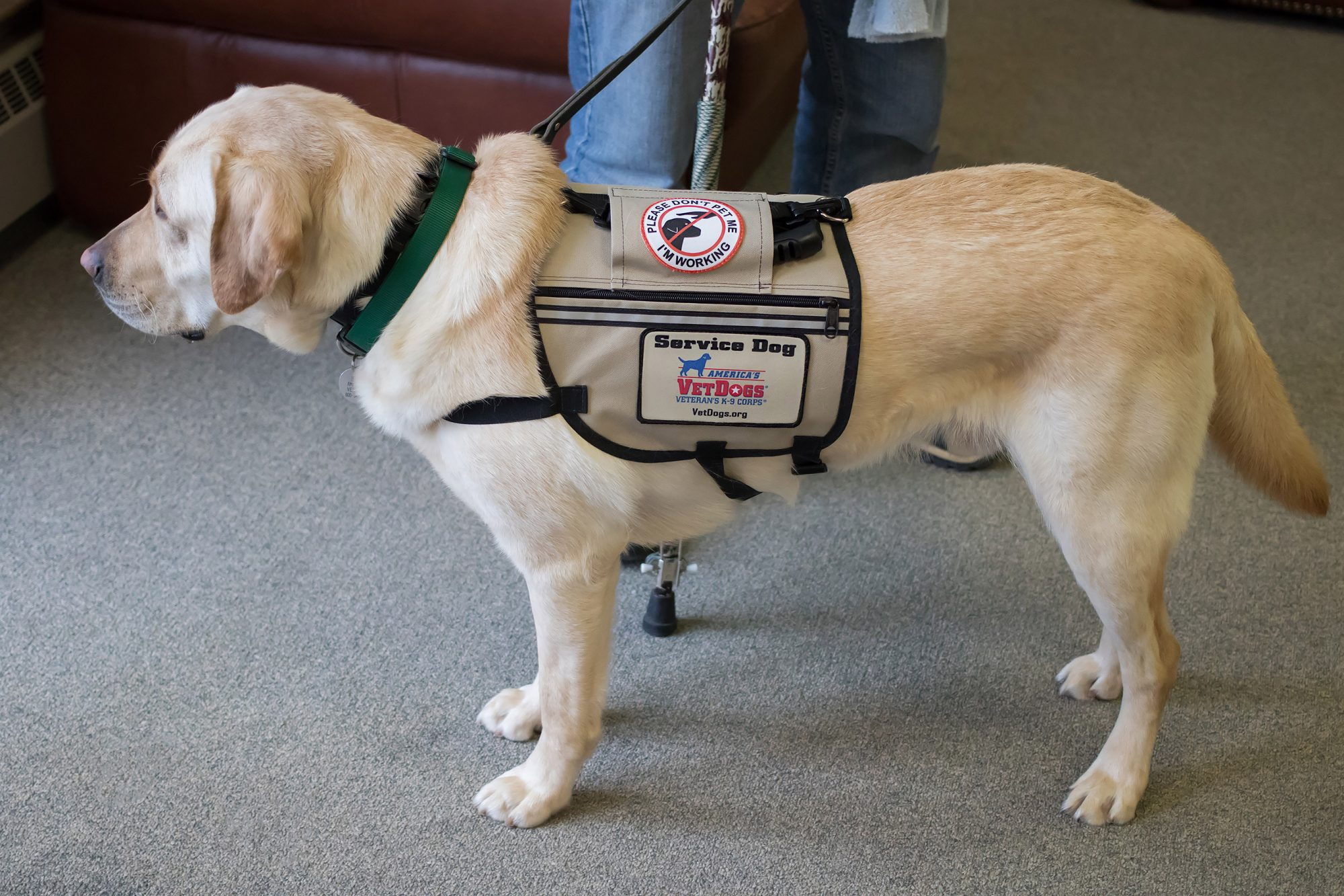 Service DogsCredit: America's VetDogs and Guide Dog Foundation/Rebecca Eden