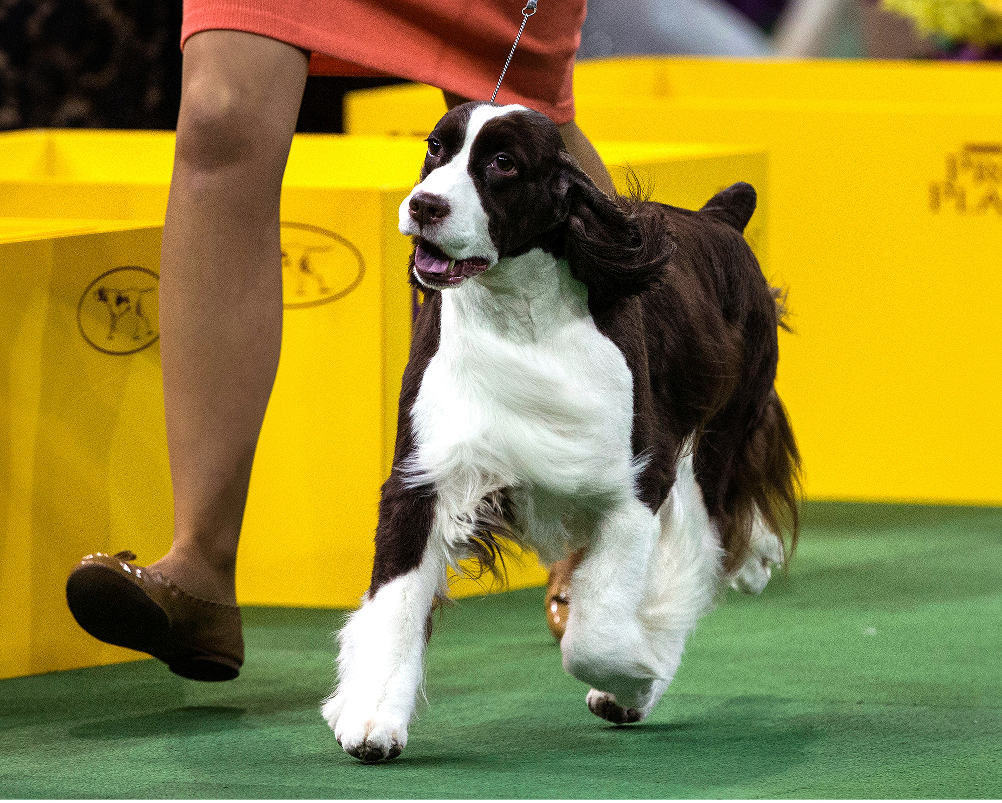 Dogs Compete In The 139th Annual Westminster Kennel Club Dog Show