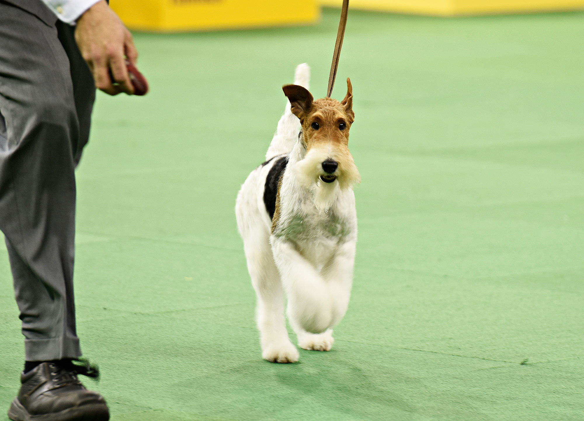 The Westminster Kennel Club Dog Show - 2015