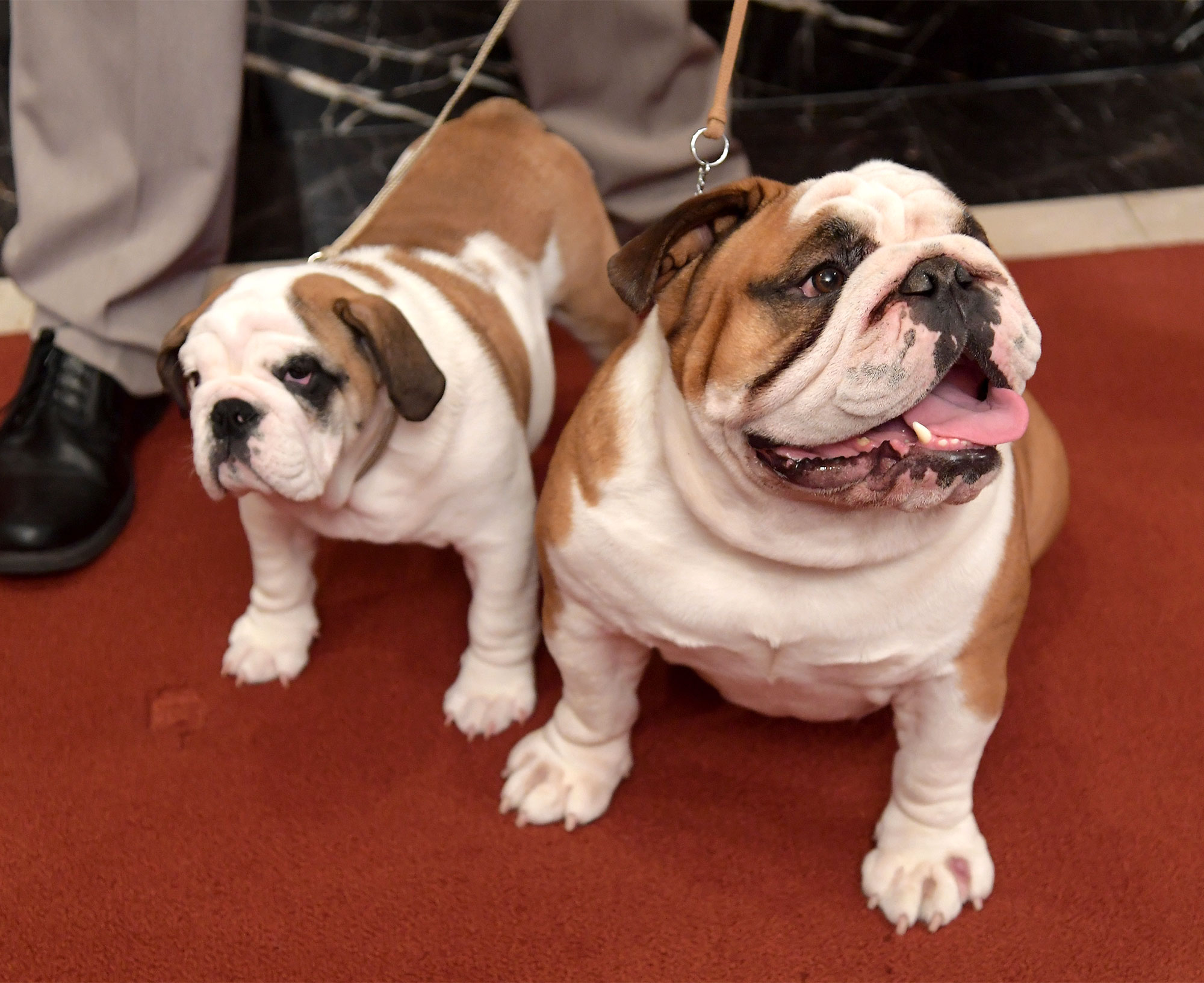 The American Kennel Club Reveals Most Popular Breeds