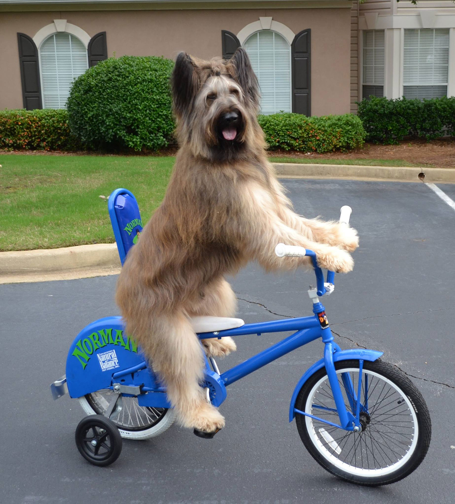 norman-scooter-dog