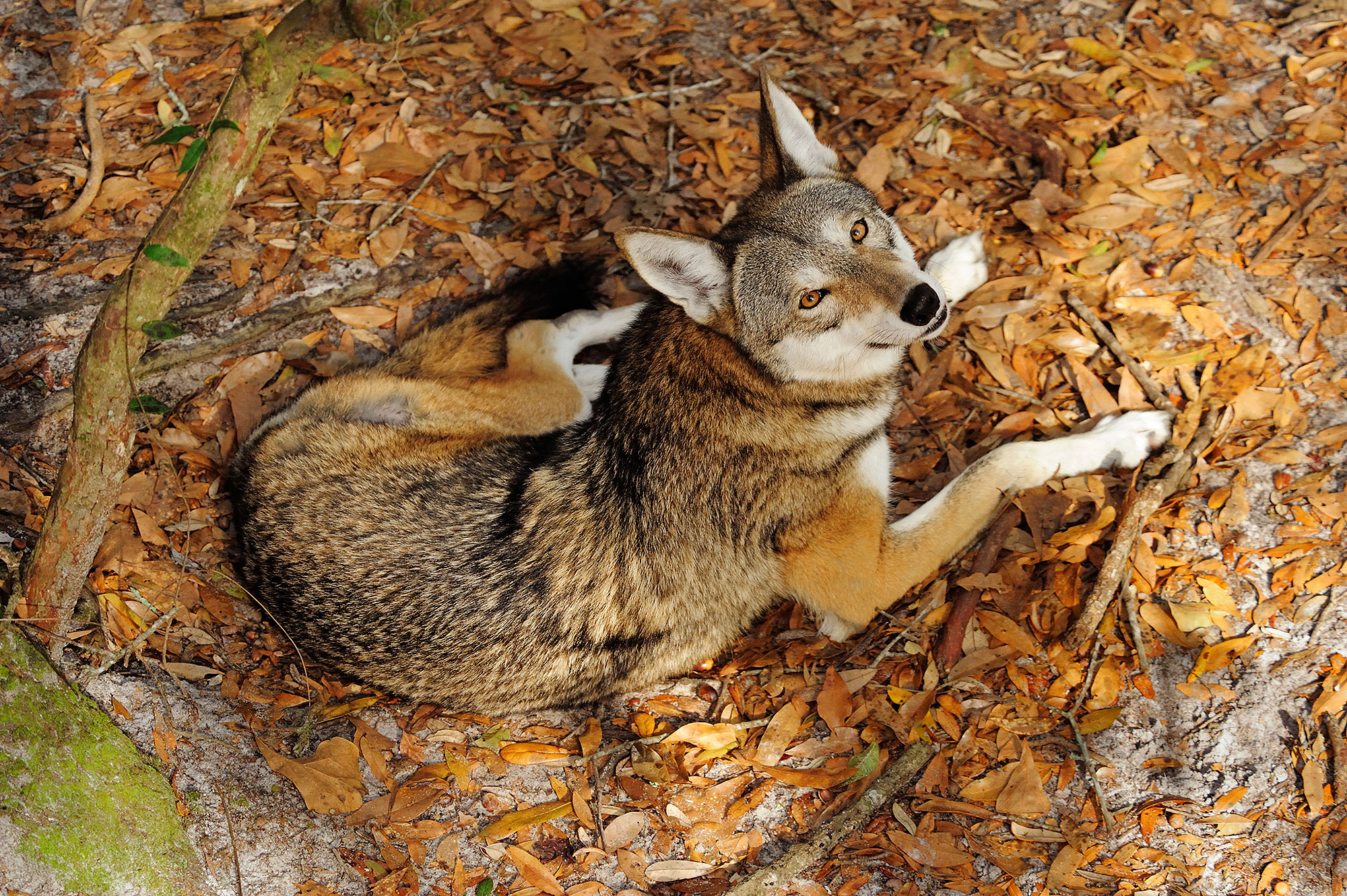 red-wolf-endangered