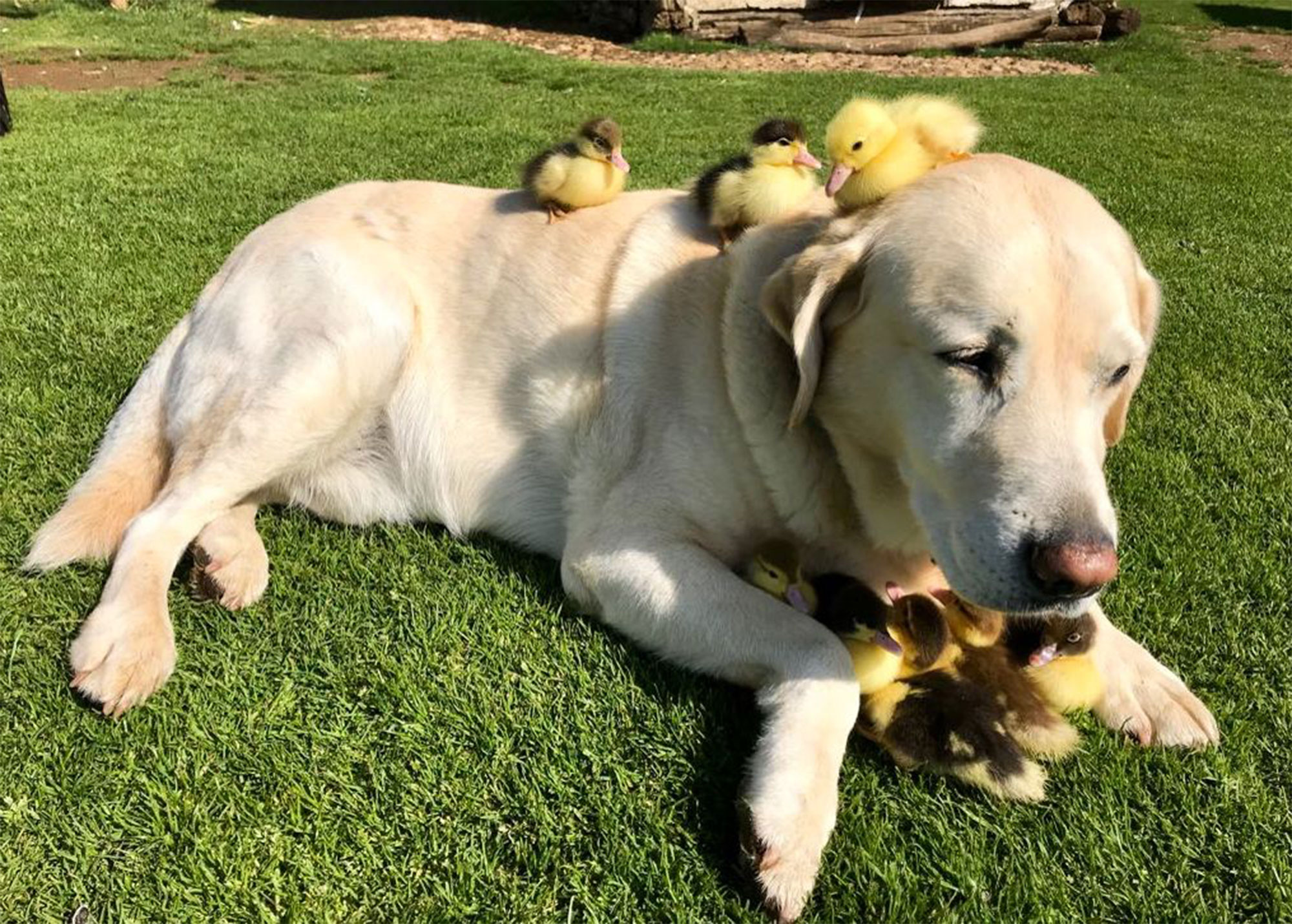 Dog adopts nine ducklings, Mountfitchet Castle, Essex, UK - 21 May 2018