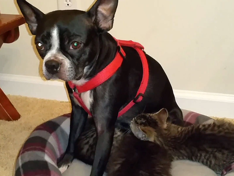BOSTON TERRIER AND KITTENS