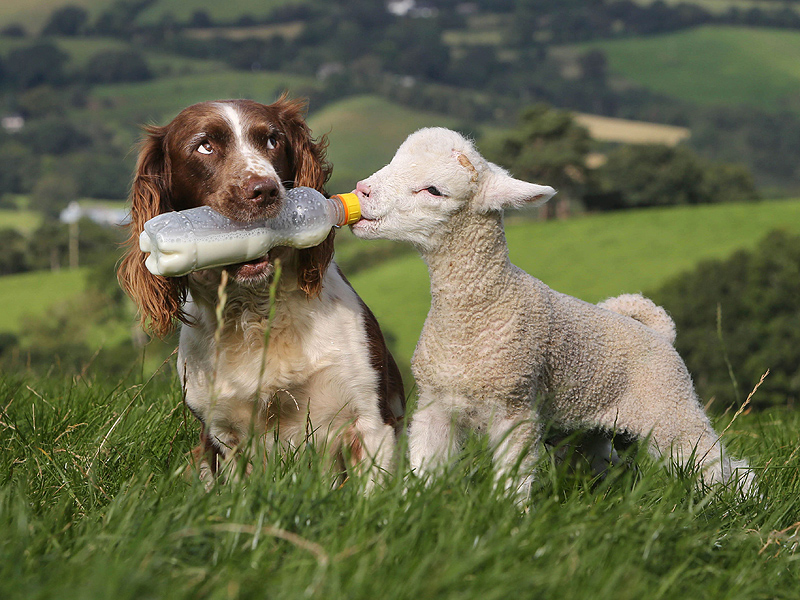 SHEEPDOG AND LAMB