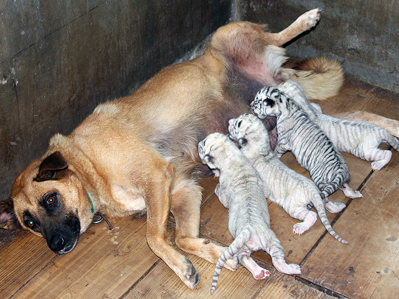 DOG AND TIGER CUBS