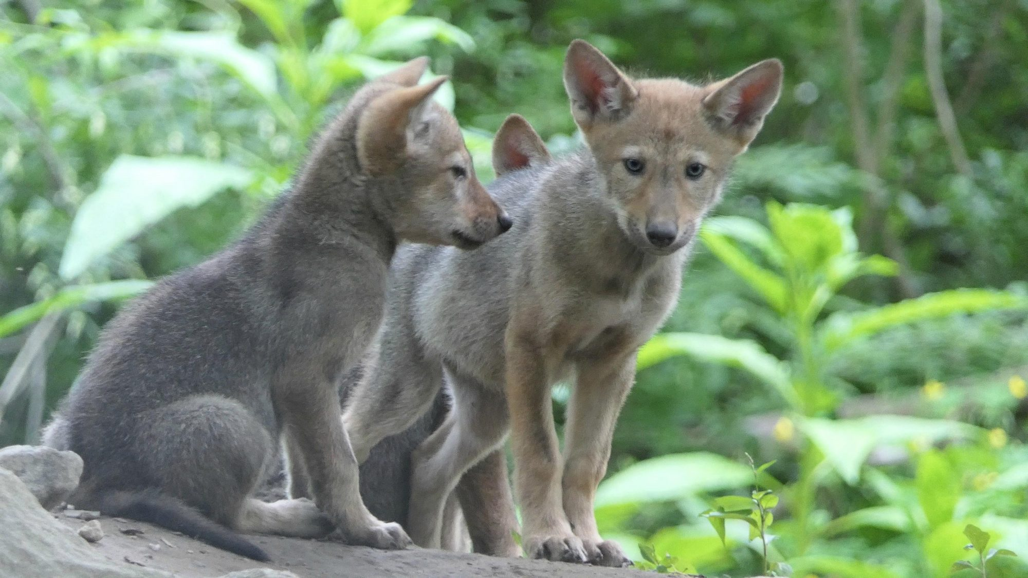 Rare Baby Red Wolves CR: Courtesy New York Wolf Conservation Center
