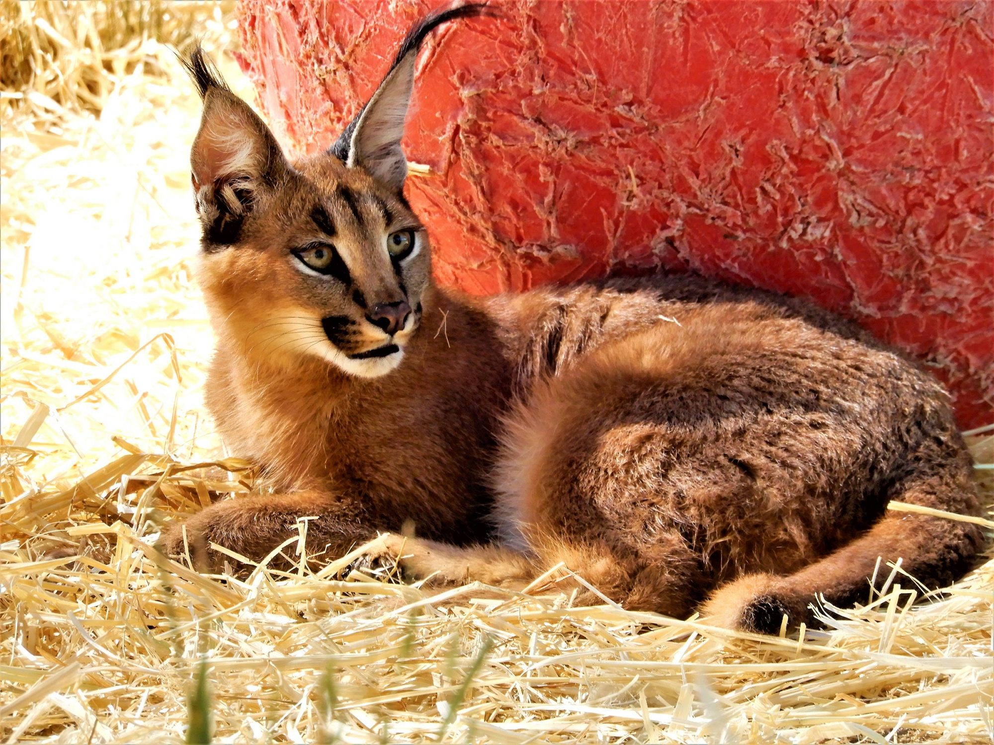 Caracal Wild Cats Rescued CR: World Animal Protection