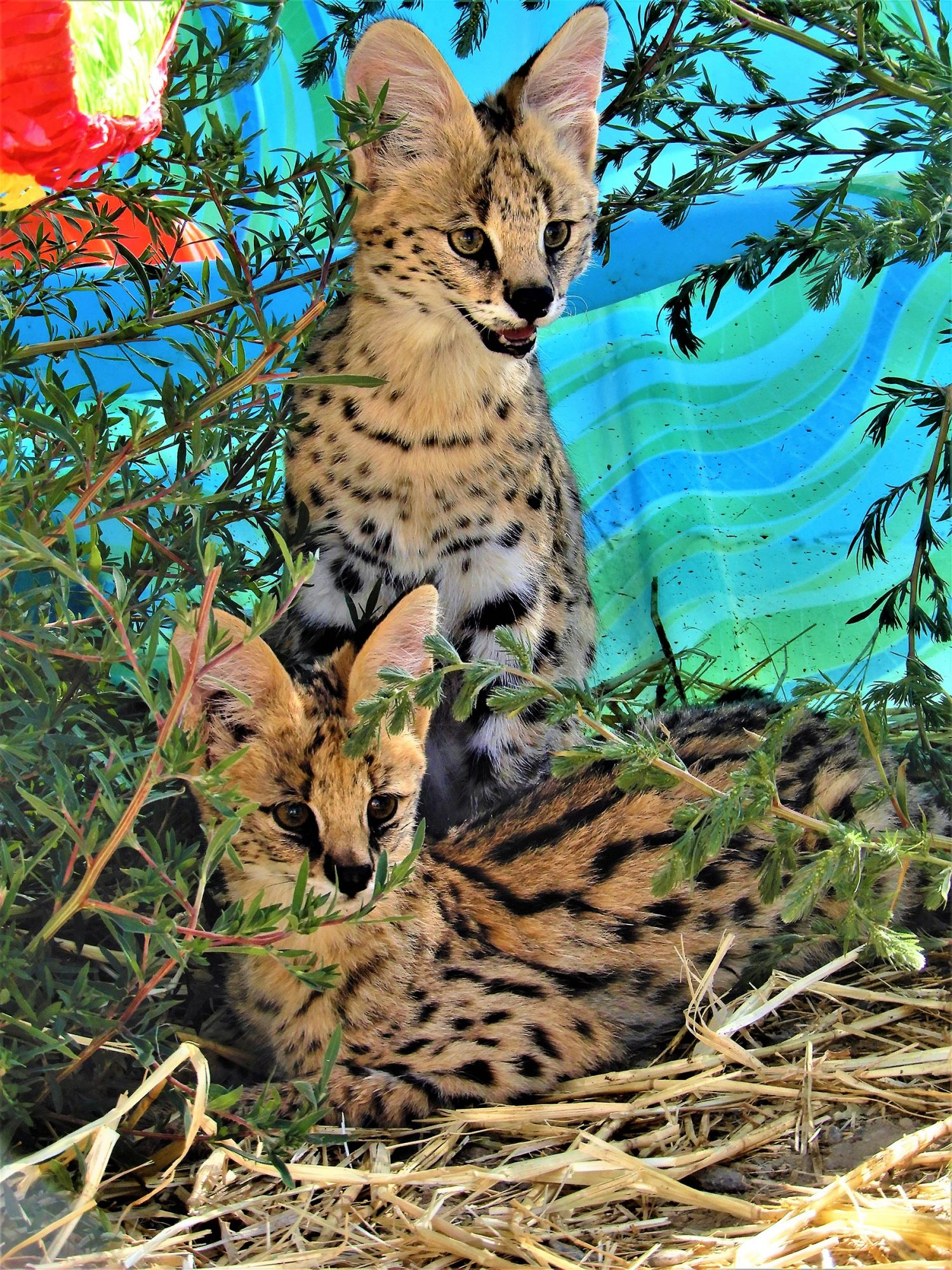 Caracal Wild Cats Rescued CR: Safe Haven Sanctuary, Nevada