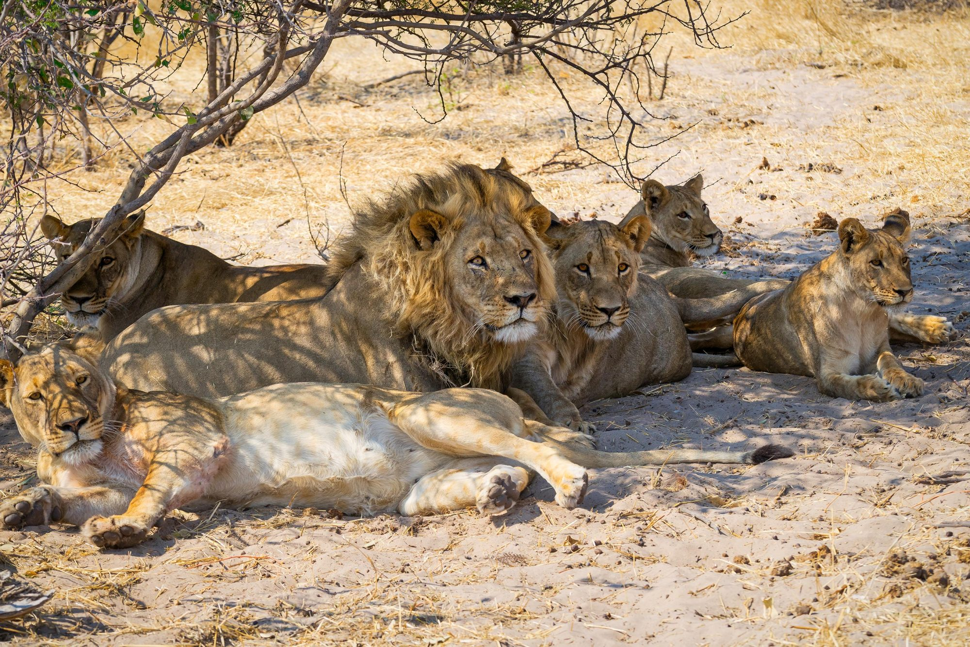 Pride of lions resting under a tree, Makgadikgadi Pans National Park, Botswana