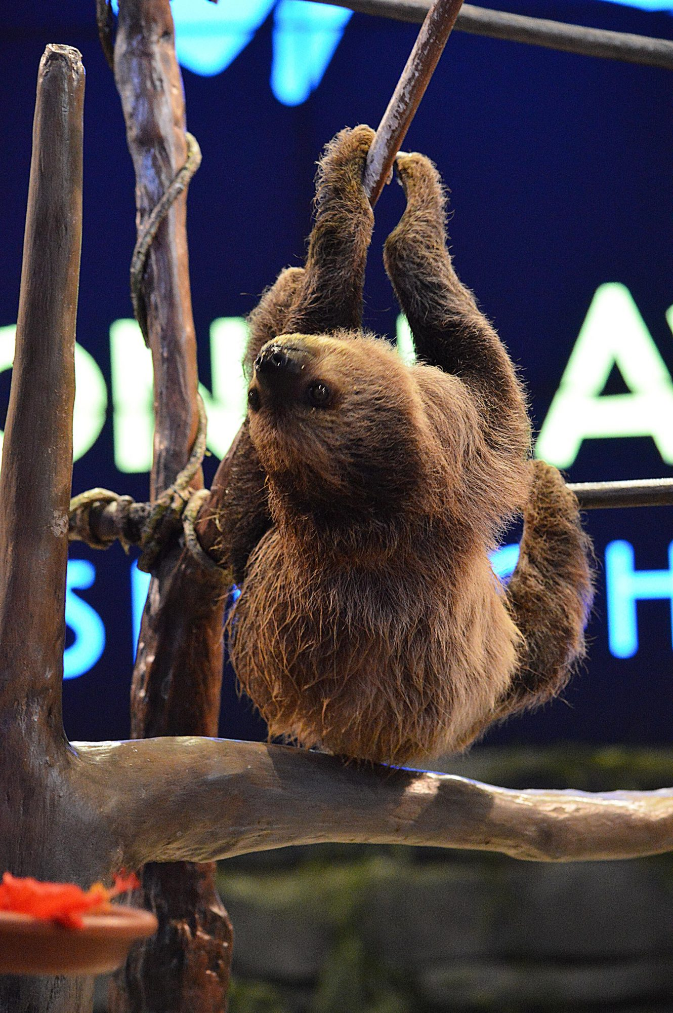 Sloth Birthday CR: Courtesy The National Aviary