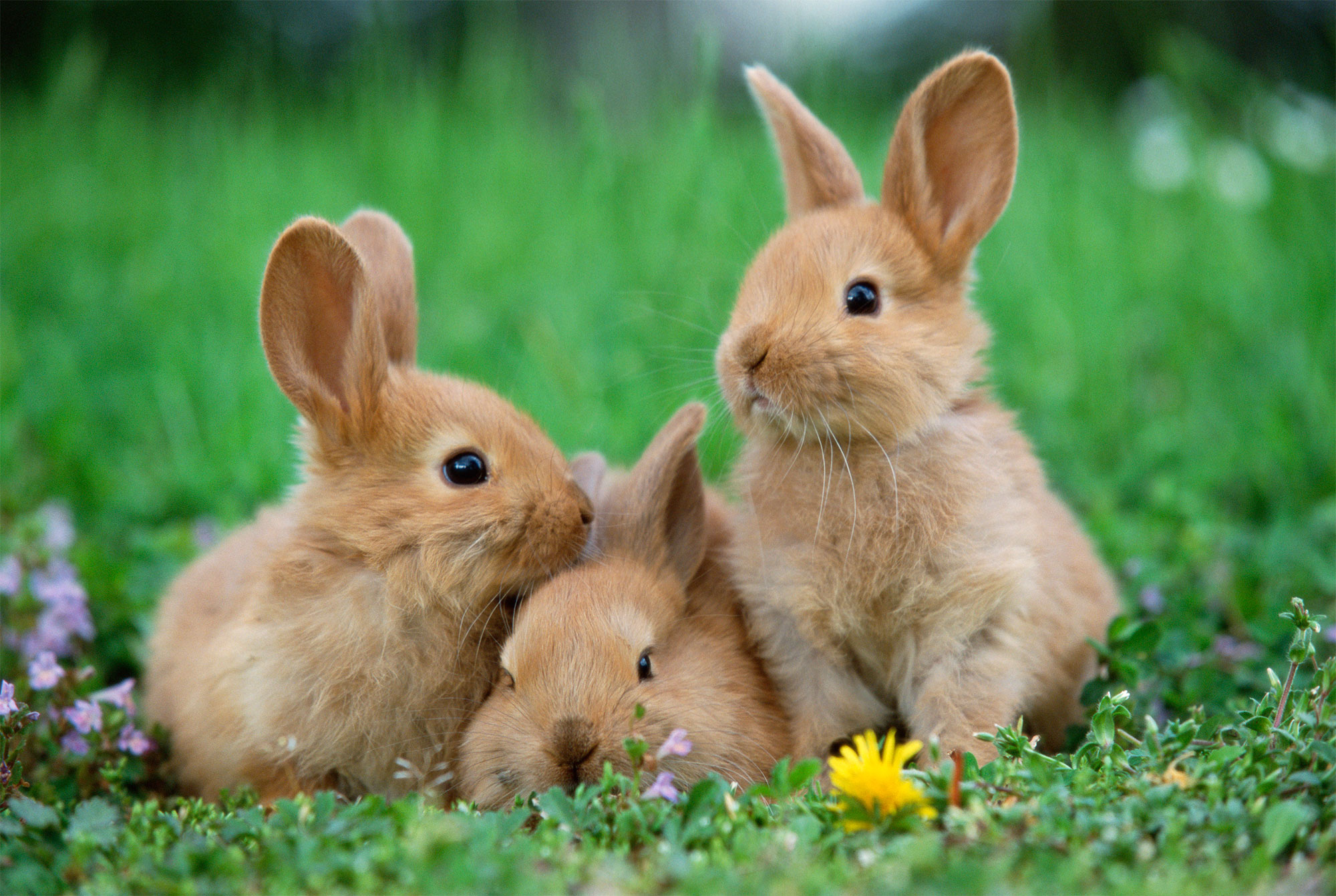Rabbits in meadow