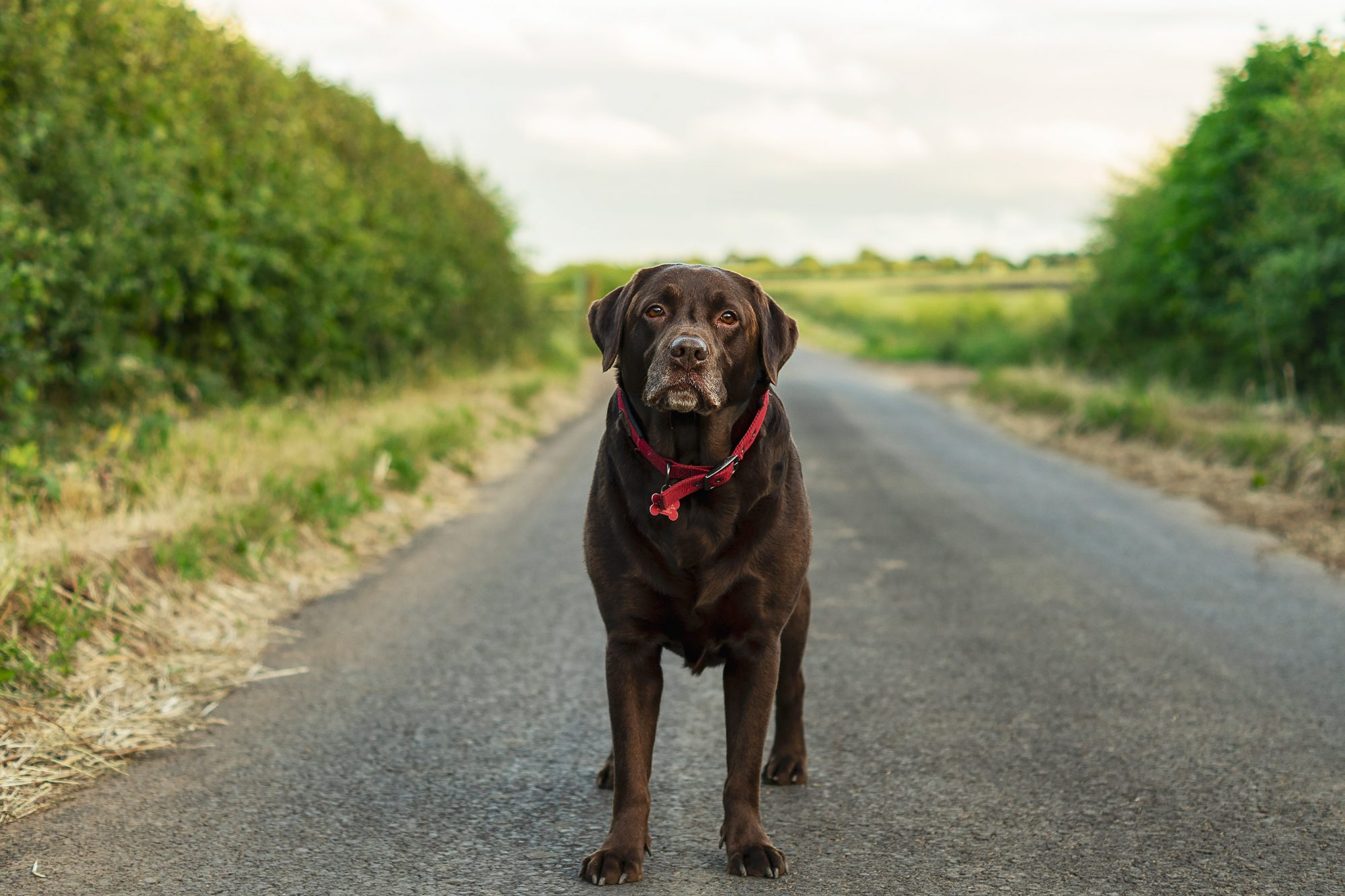 Male Chocolate Labrador in the outdoors