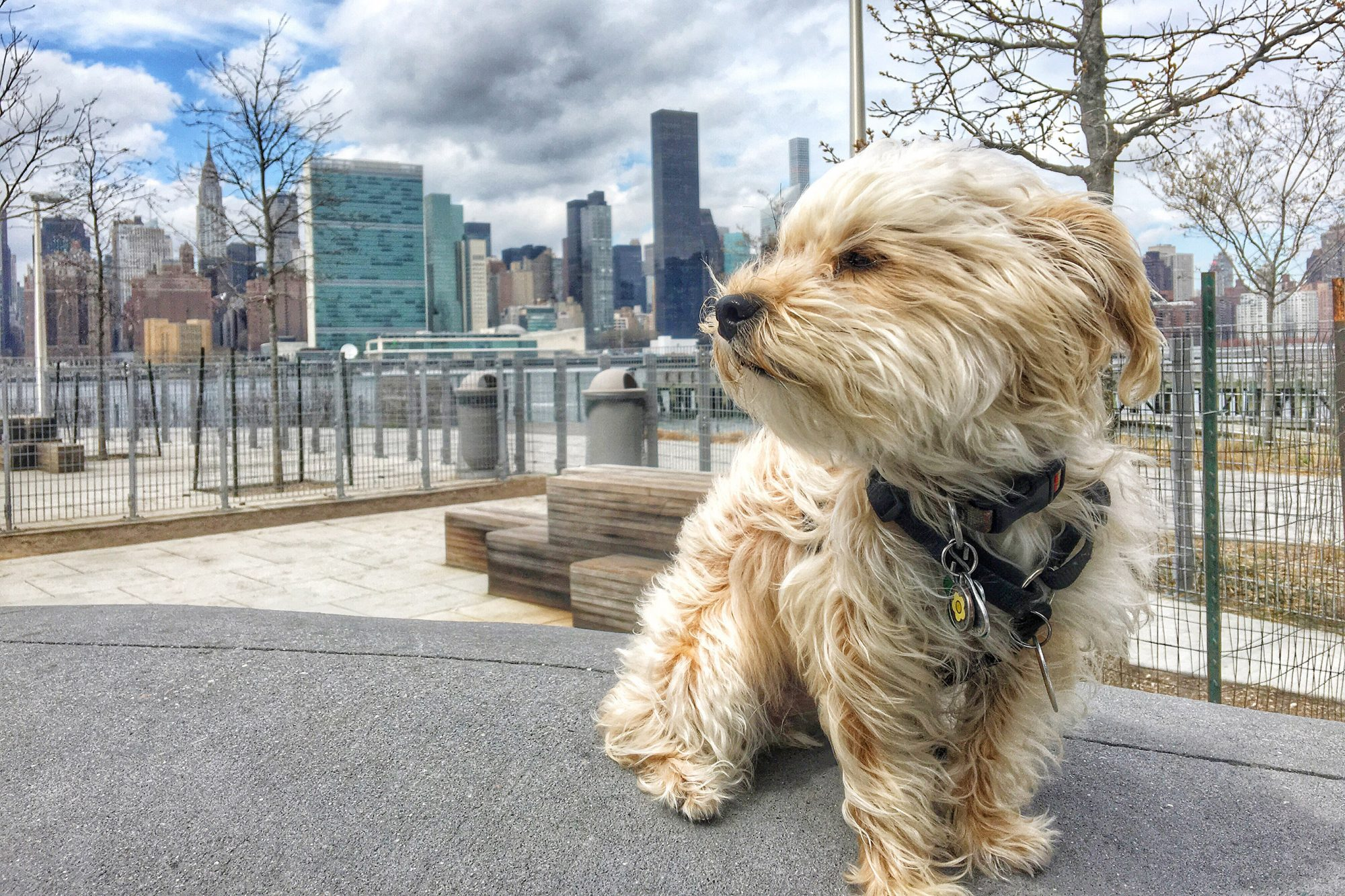Yorkshire Terrier On City Street Against Cloudy Sky