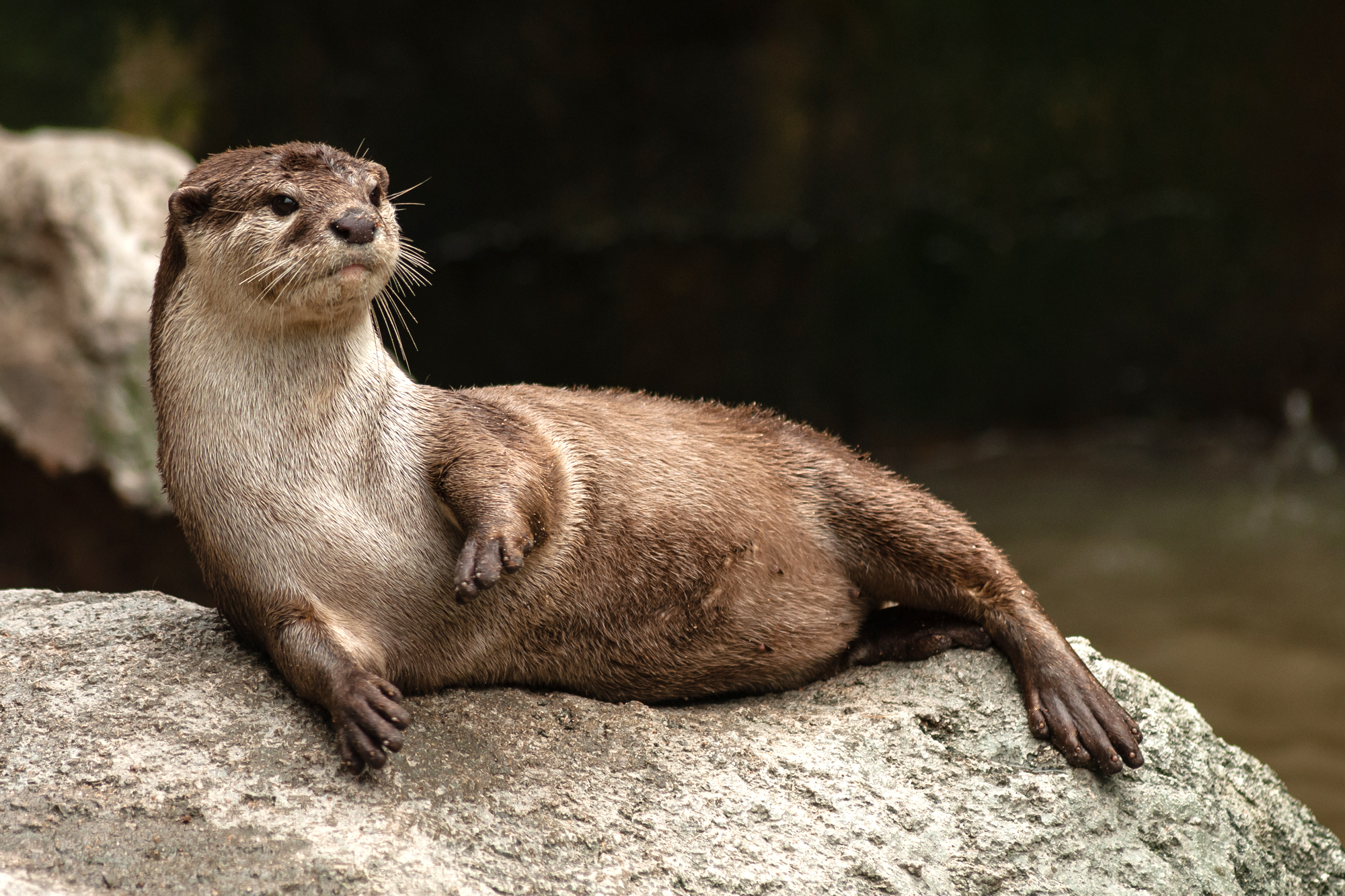 Aonyx cinereus (Asian Small-clawed Otter, Oriental Small-clawed Otter, Small-clawed Otter)