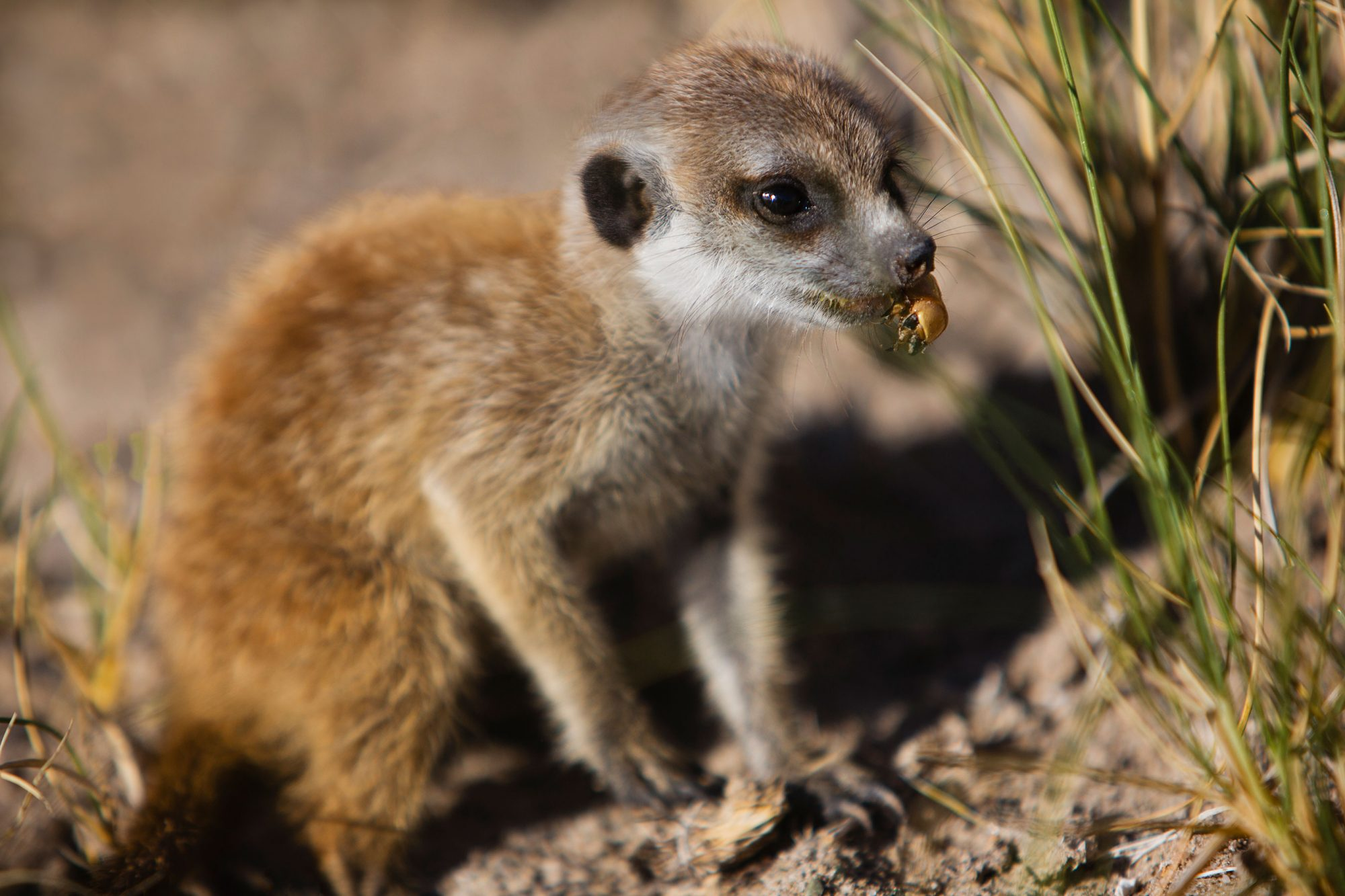 A young meerkat pup finds a grub during the clans morning foraging time