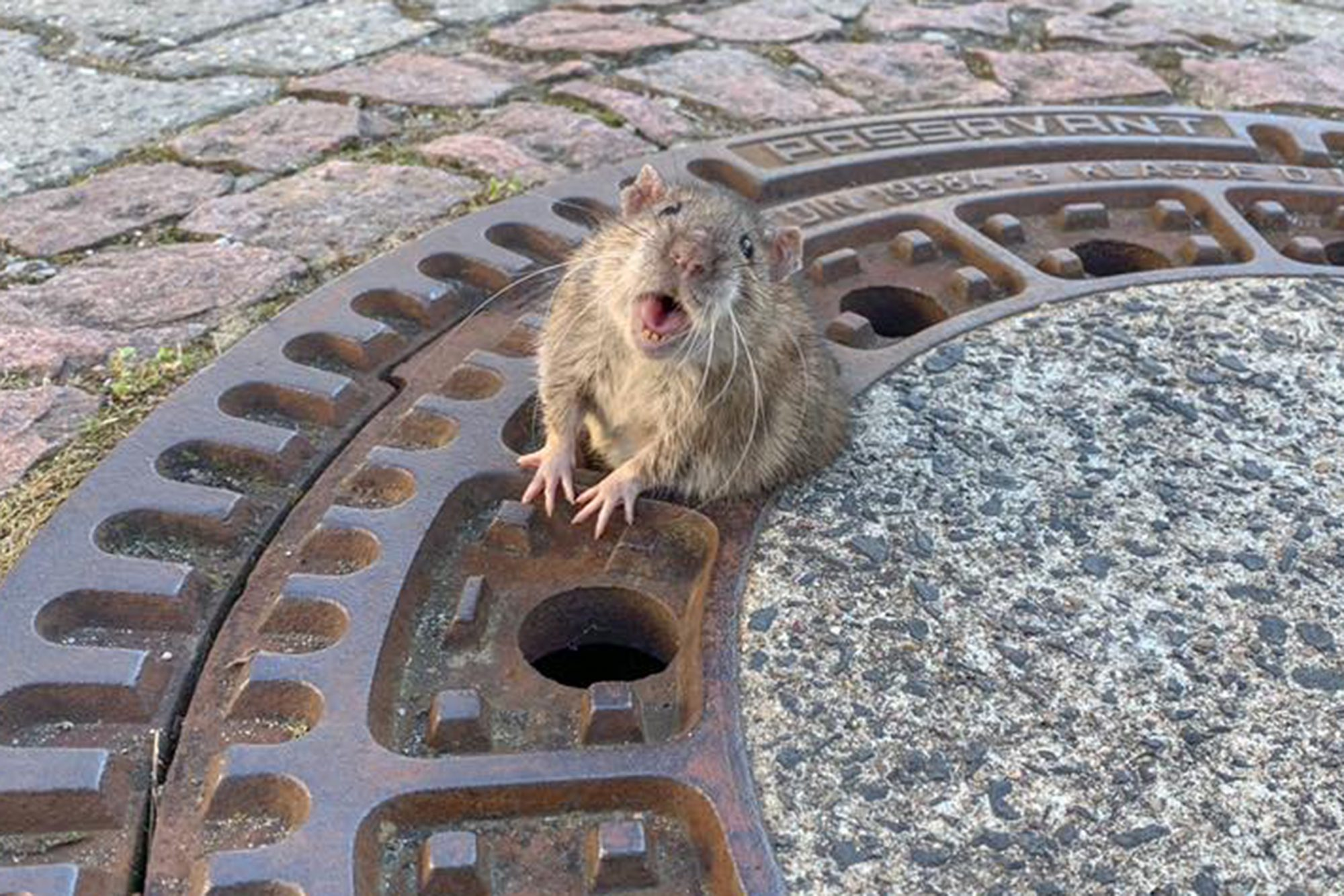 Fat Rat Gets Stuck in Sewer Grate & Prompts Large Rescue Operation