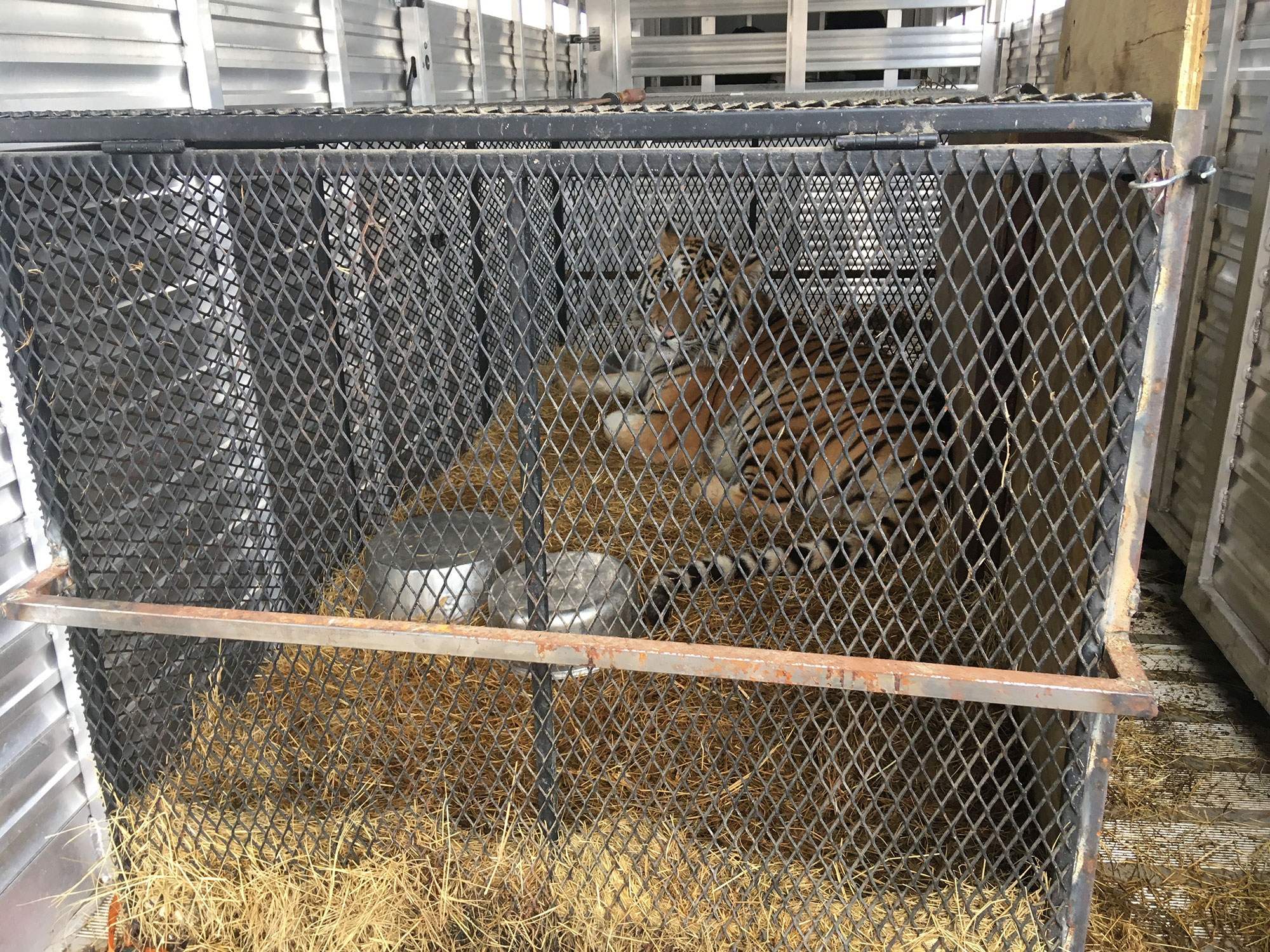 New tiger arrival at BBR