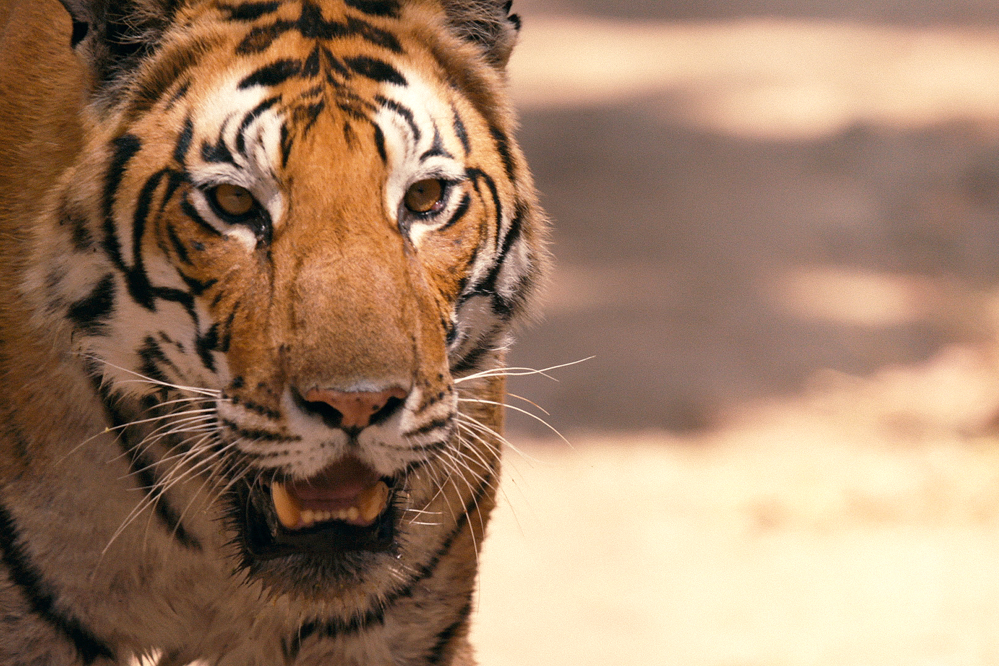 Endangered TigersCredit: Discovery