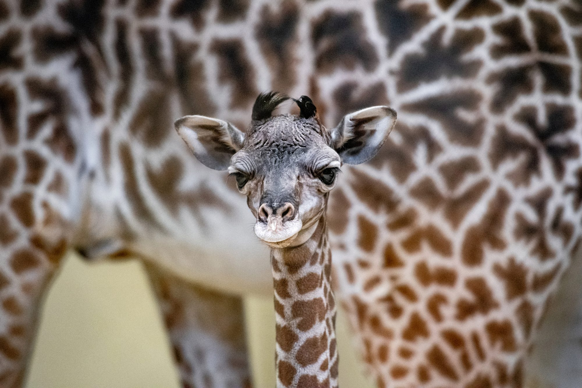 Baby Giraffe at Cleveland Metroparks Zoo on April 24, 2019.