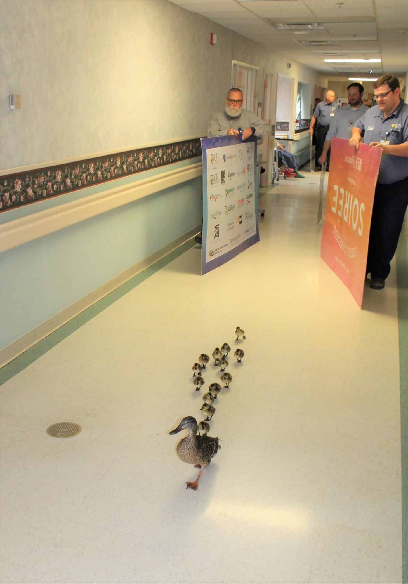 Mother Duck Parades Her Babies Through a New York Hospital Which She Does Once a Year, Every Year
