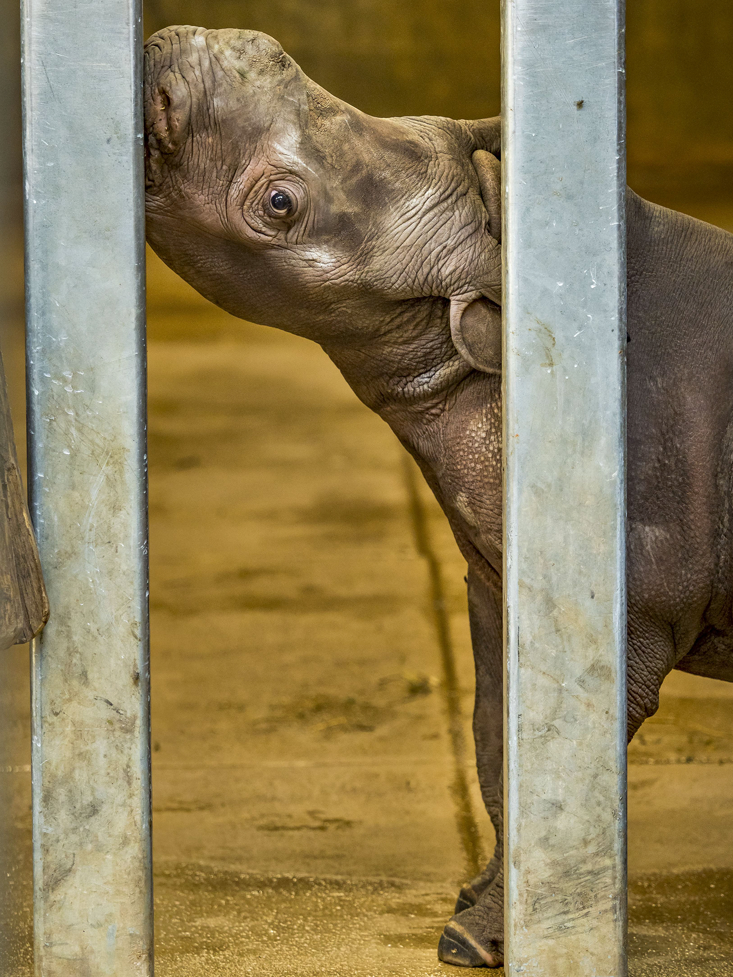 Baby Rhinoceros Goes on Display in Des Moines