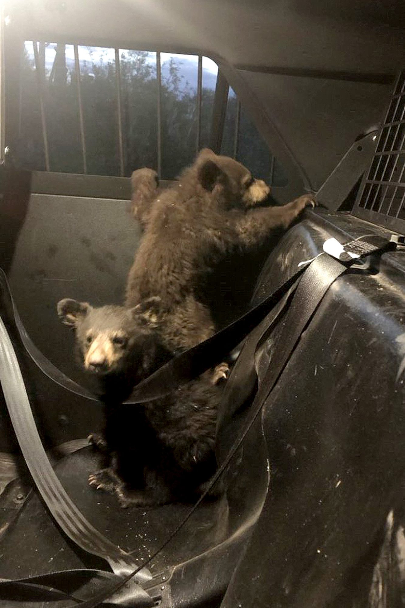 Arizona bear cubs were rescued