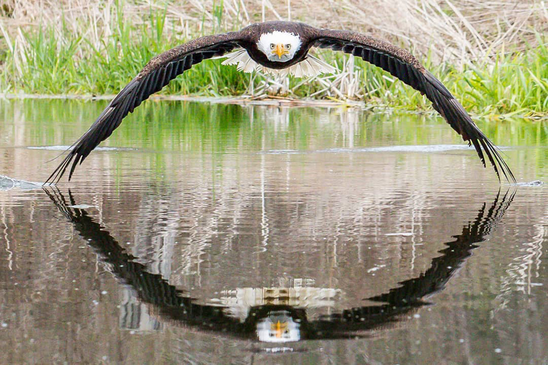 Bald Eagle perfectly reflected in water