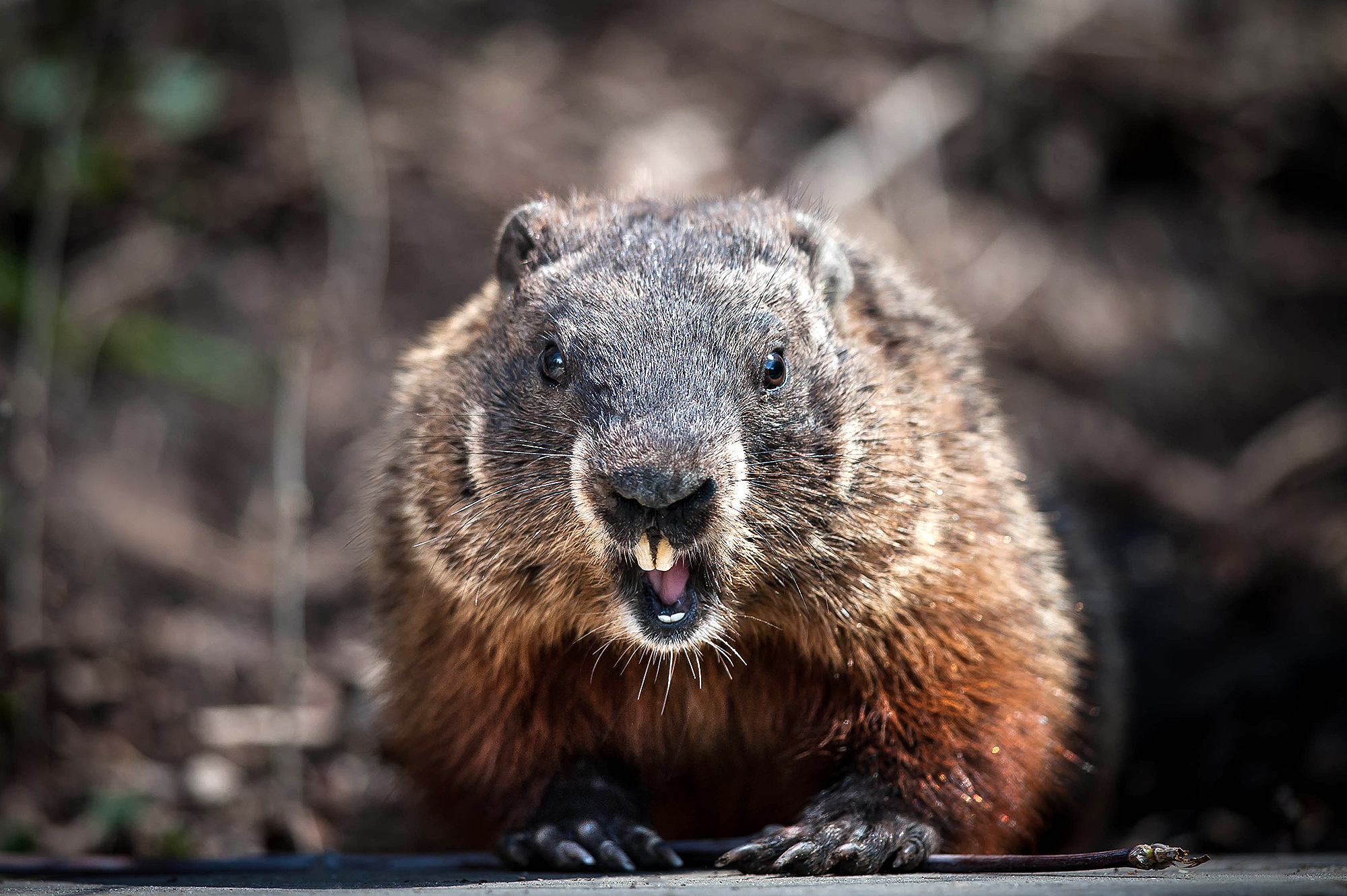Couple Dies of the Plague After Eating Raw Marmot Meat.
