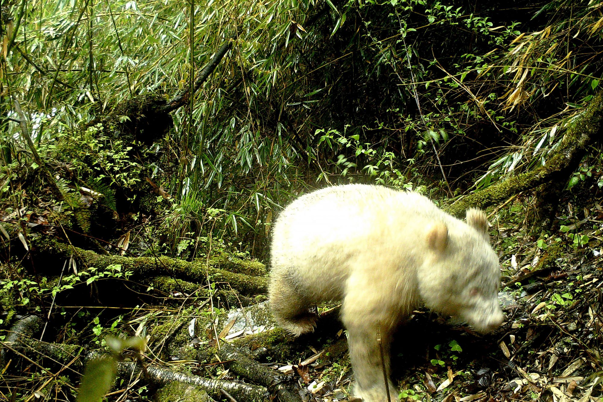 A handout photo made available by Wolong National Nature Reserve shows an infrared camera image showing an all-white giant panda, as seen in the Wolong National Nature Reserve, in Sichuan province, China, 20 April 2019