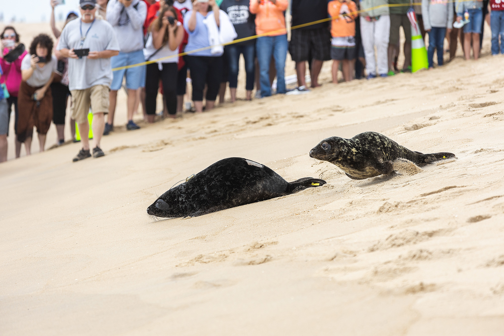 Grey seals Edwin Hubble and George Washington Carver are released in Ocean City, Maryland | May 23, 2019