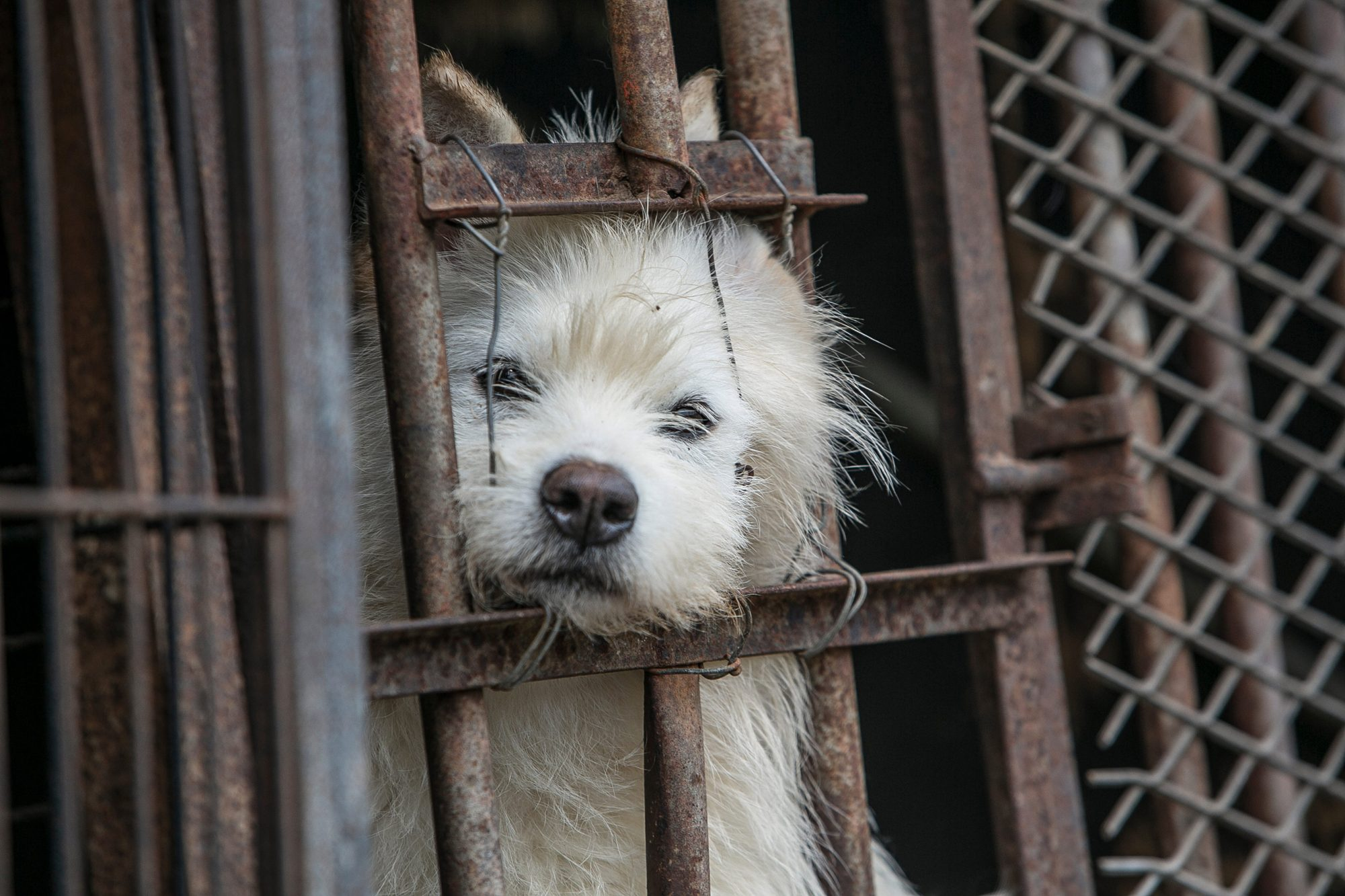 Dogs are shown locked in a cage at a dog meat farm in Namyangju, South Korea, on Monday, May 7, 2018.