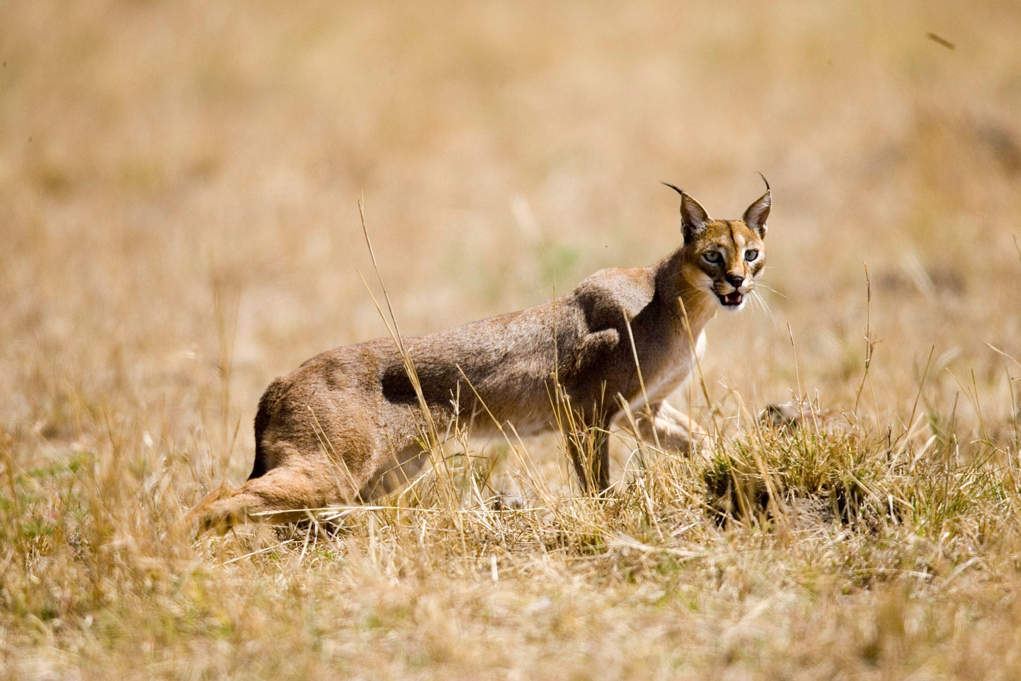 Caracal striding in the wild.